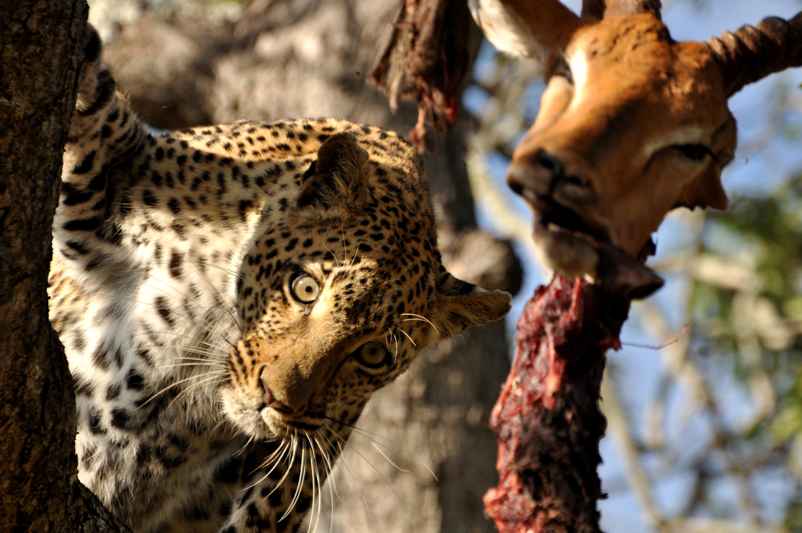 A leopard hides a dead impala up a tree in Sabi Sand Game Reserve ©Charlotte Krag