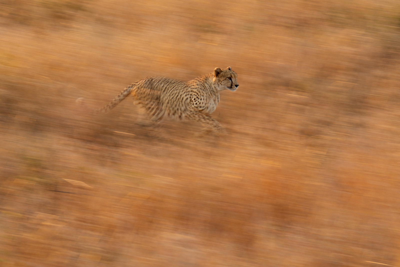 A cheetah races to catch up with his coalition in Kruger National Park, South Africa ©Douglas Croft