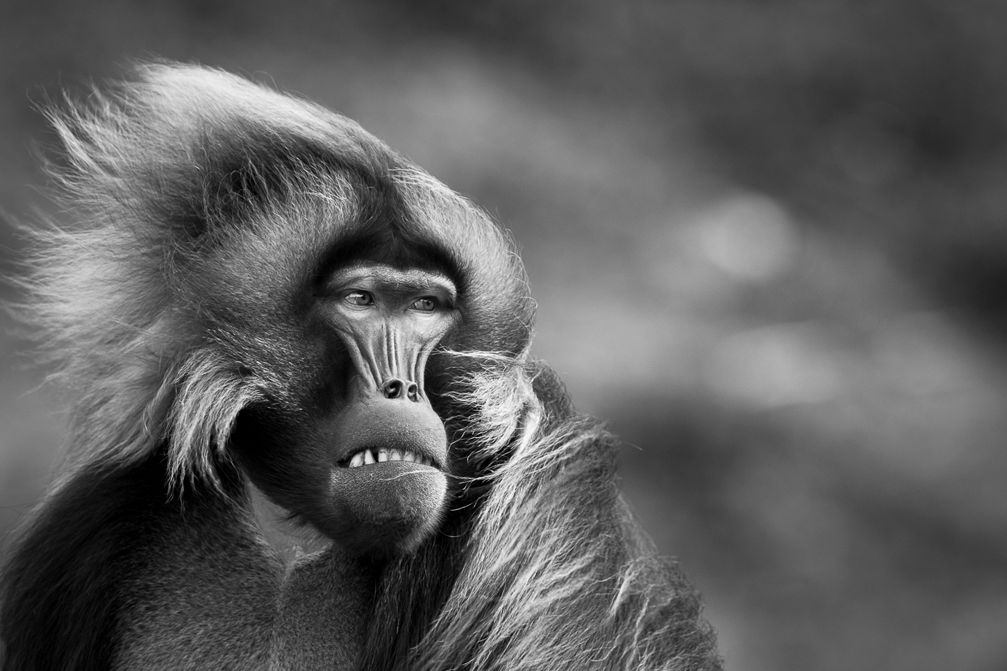 A Gelada monkey's hair being blasted by the wind in the Ethiopian Highlands ©Patrice Quillard
