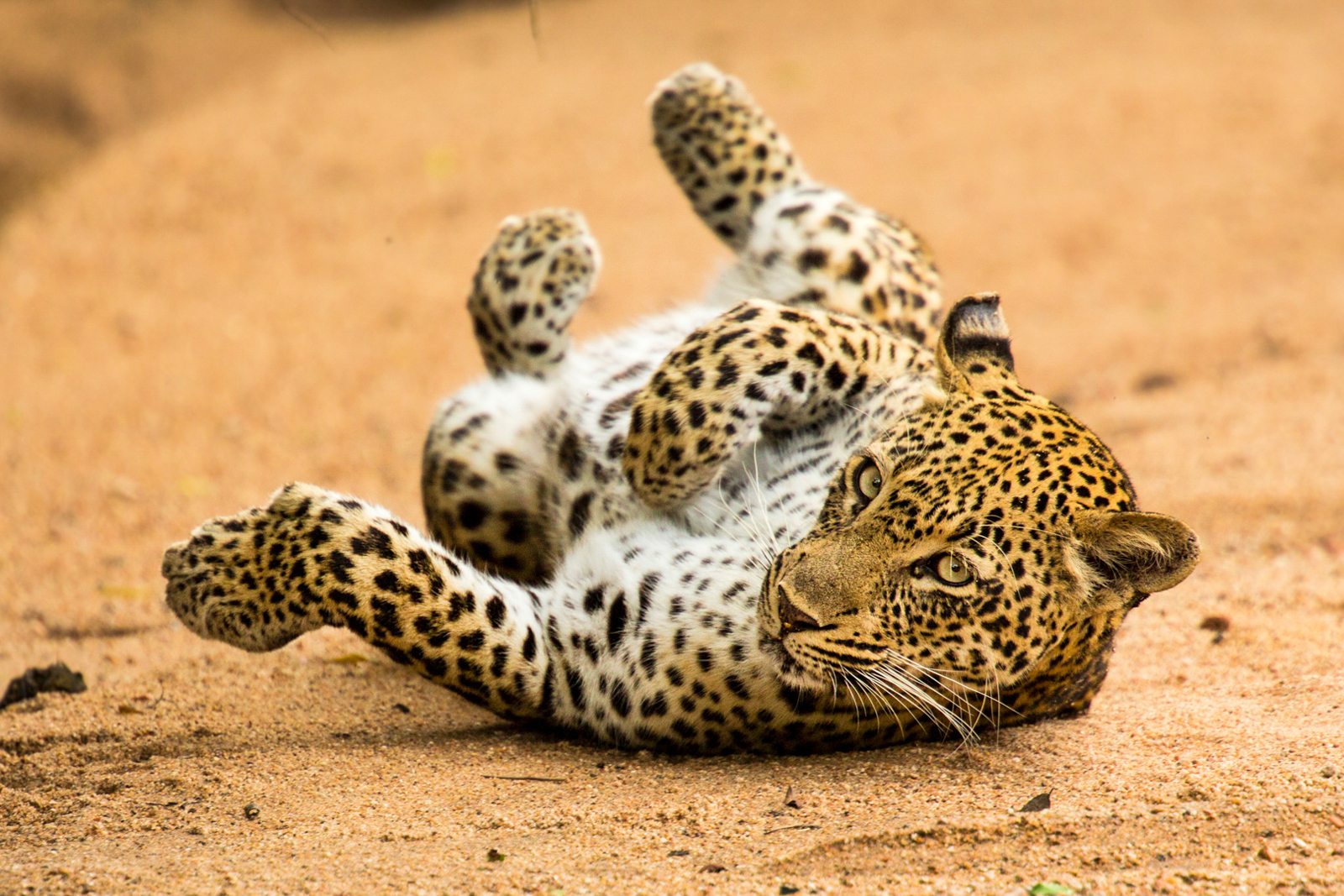 Female leopard rolling at Kirkman's Camp, Sabi Sands, South Africa ©Caleb Shephard