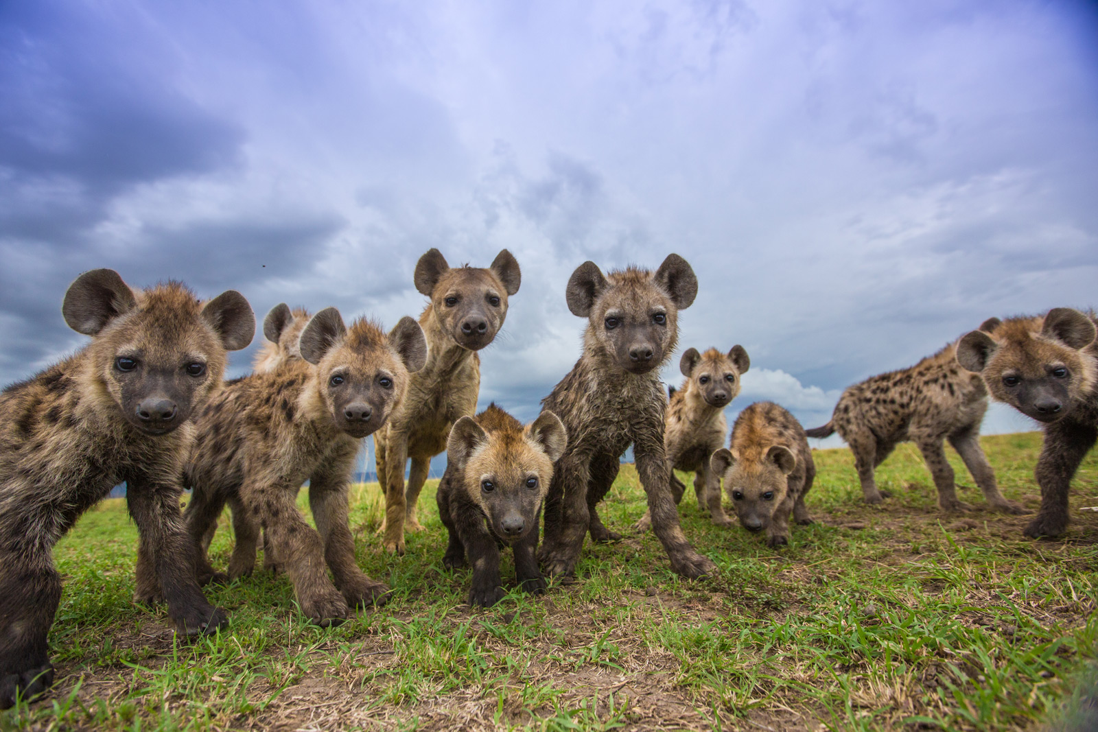 Hyenas stare at a remote controlled camera