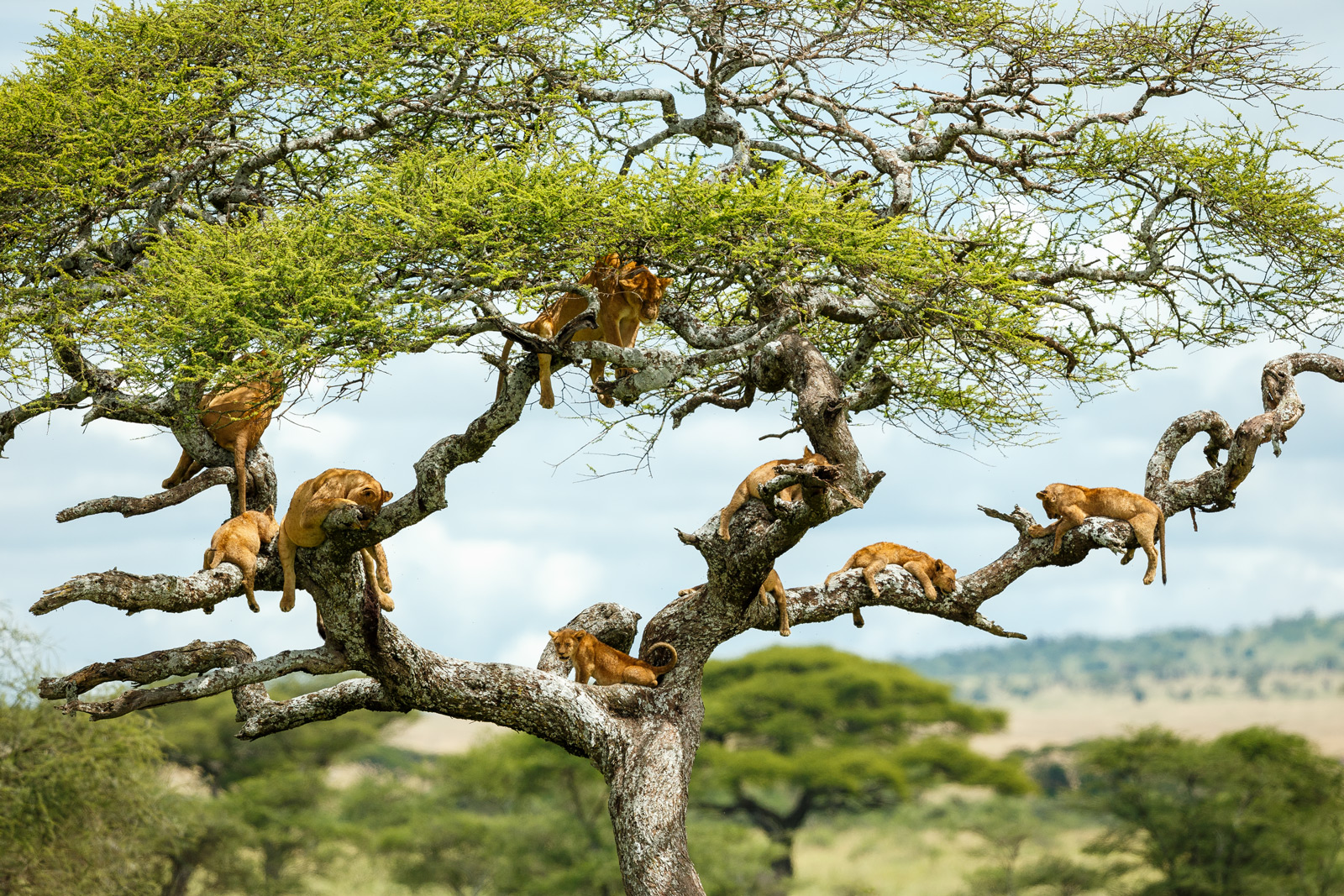 Lions sleeping in a tree in Tanzania