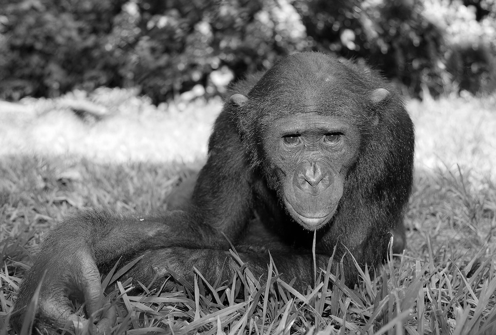"""As humans, we share 99% of our DNA with bonobos ©<a href=""""http://www.homoambiens.com/ha/homoambiens_ing.php"""" target=""""_blank"""">Homo Ambiens Photography</a>"""
