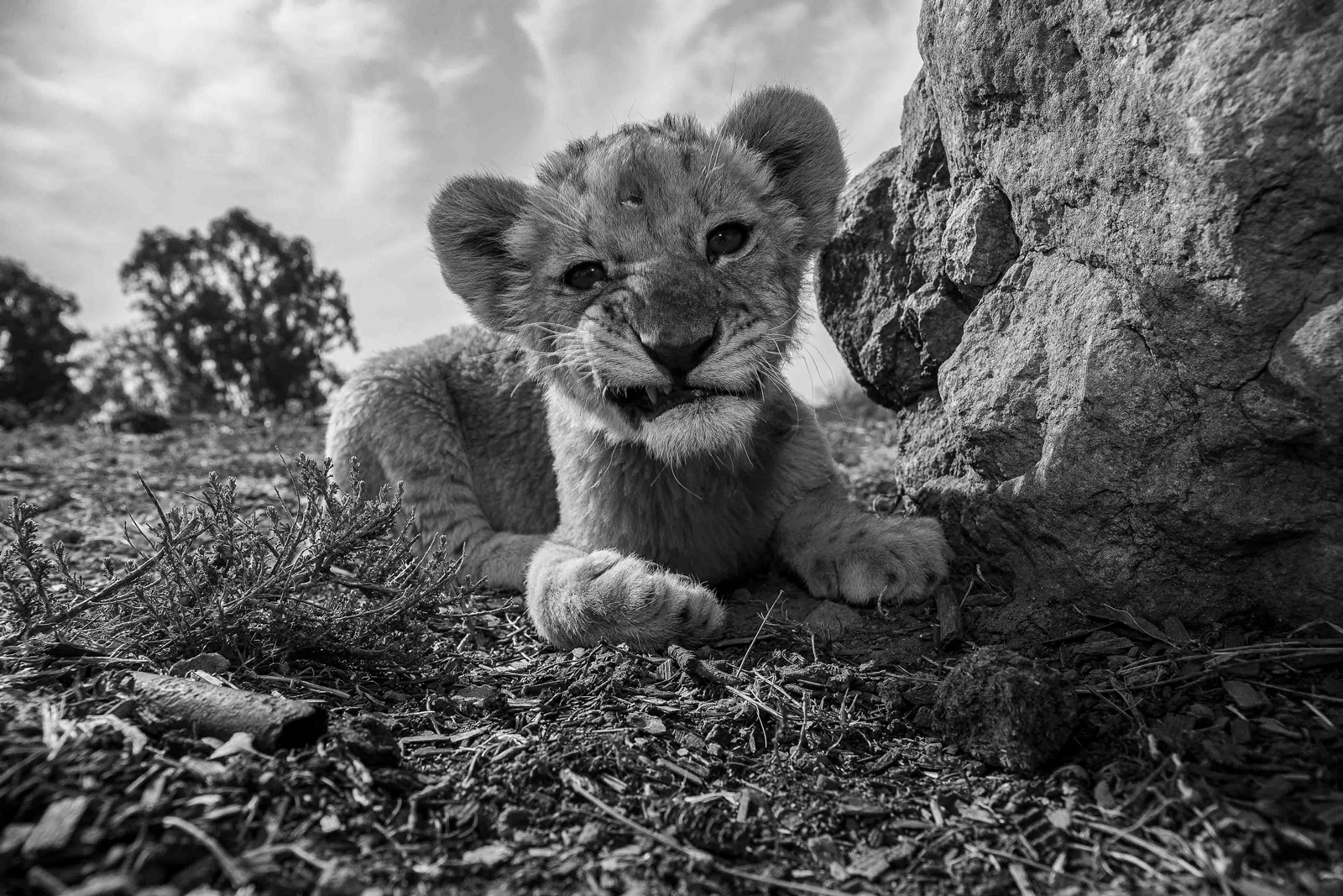 "Lions are one of the most celebrated species of African wildlife ©<a href=""http://www.homoambiens.com/ha/homoambiens_ing.php"" target=""_blank"">Homo Ambiens Photography</a>"