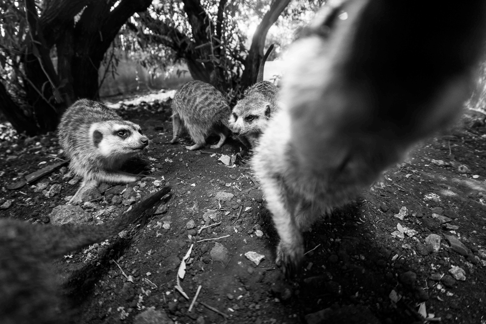 "Meerkats face more real threats from wild adversaries like birds of prey ©<a href=""http://www.homoambiens.com/ha/homoambiens_ing.php"" target=""_blank"">Homo Ambiens Photography</a>"