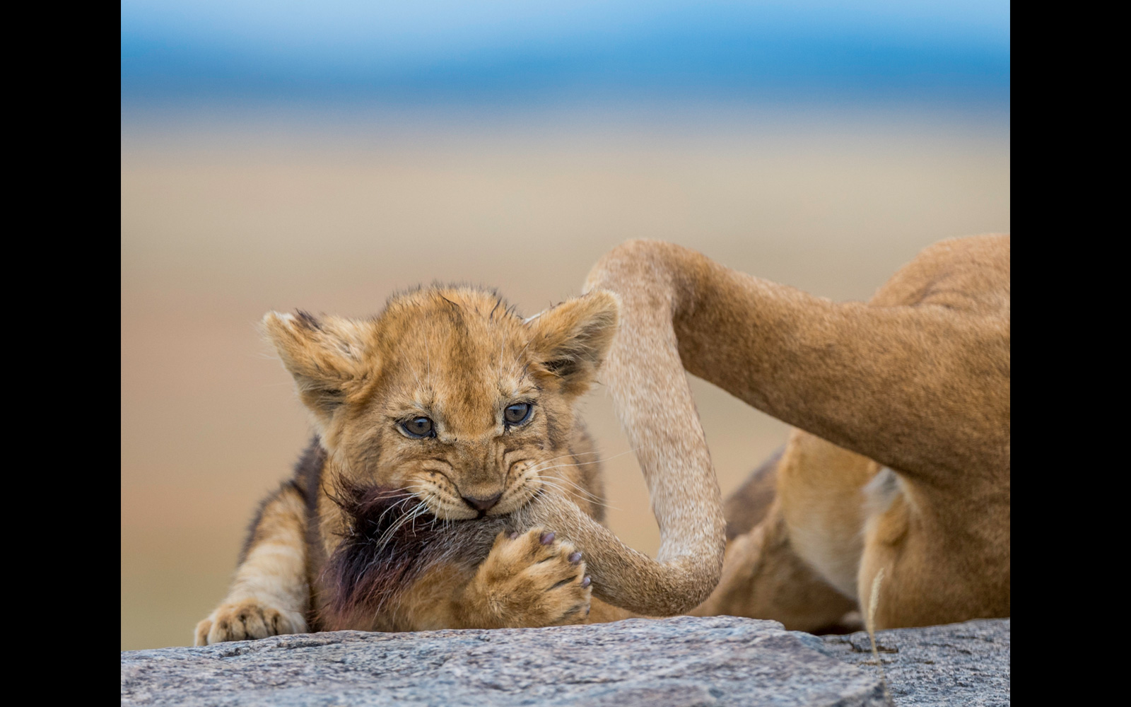 """Caught the cat by the tail"" – a lion cub in Serengeti National Park, Tanzania © Yaron Schmid (Photographer of the Year 2018 Entrant)"