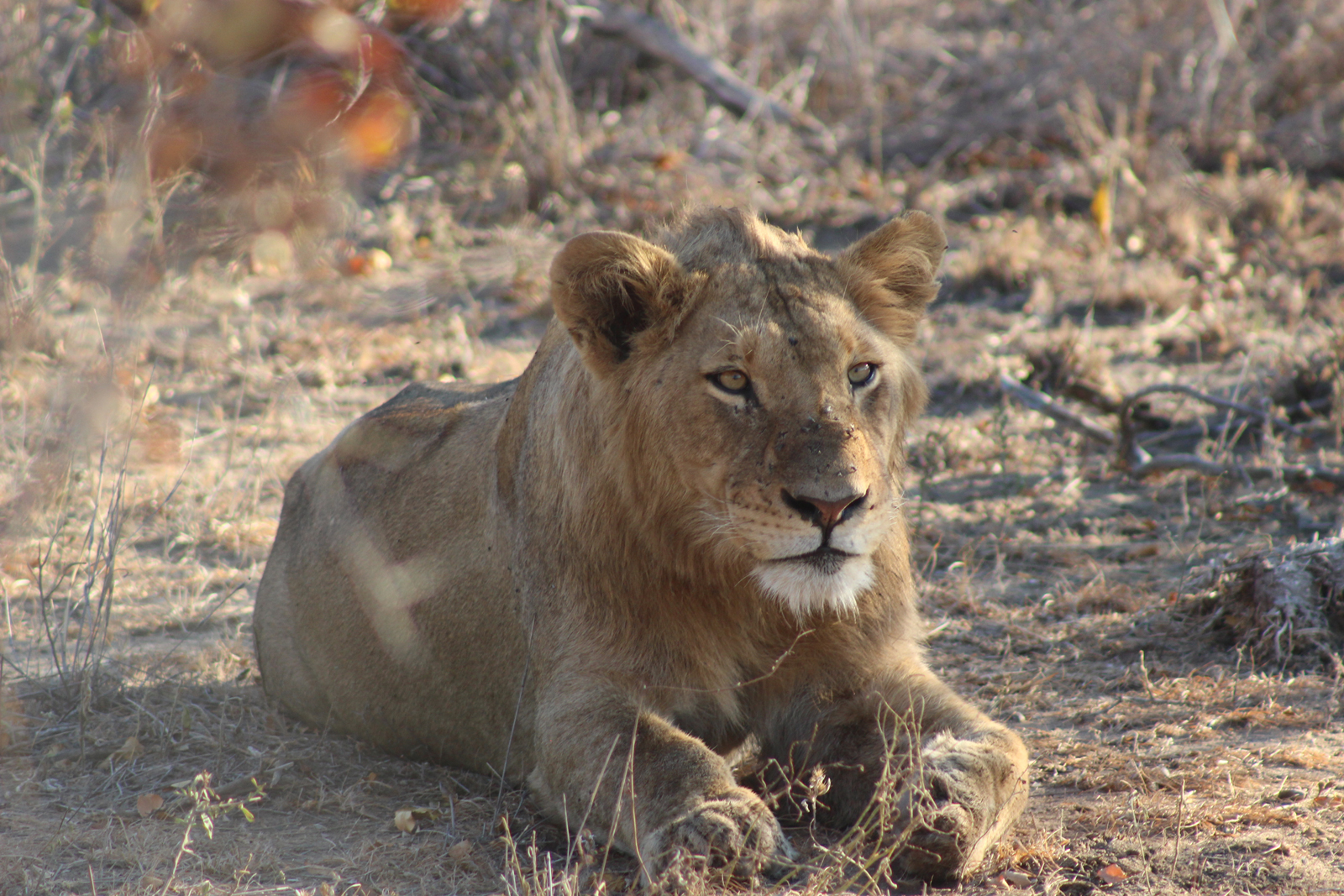 "Hear the call of a lion in the wild with <a href=""http://www.sanparks.org/"" target=""_blank"">SANParks </a>©Simon Espley"