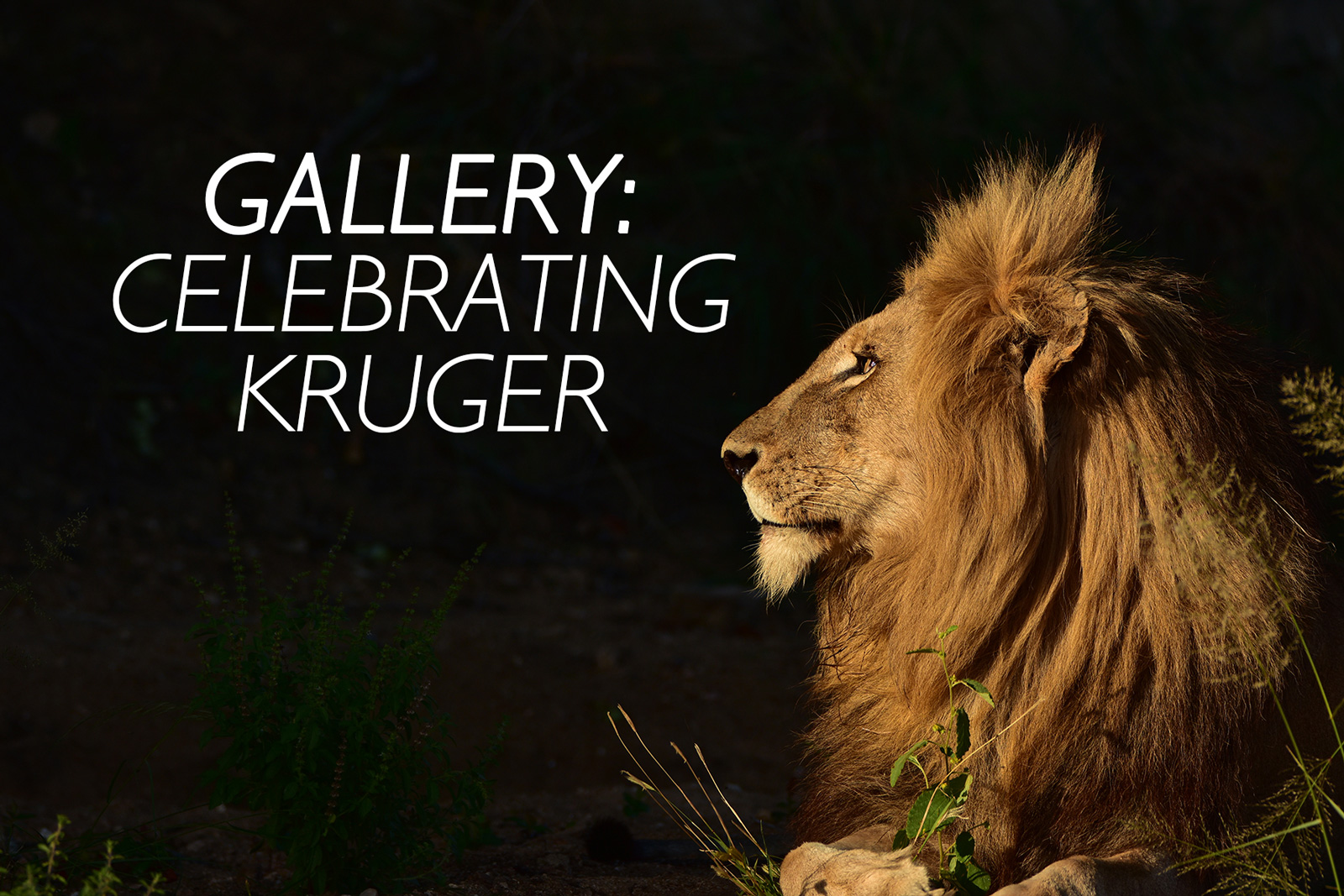Profile of a lion in Timbavati Private Game Reserve, Greater Kruger National Park, South Africa ©Luke Street