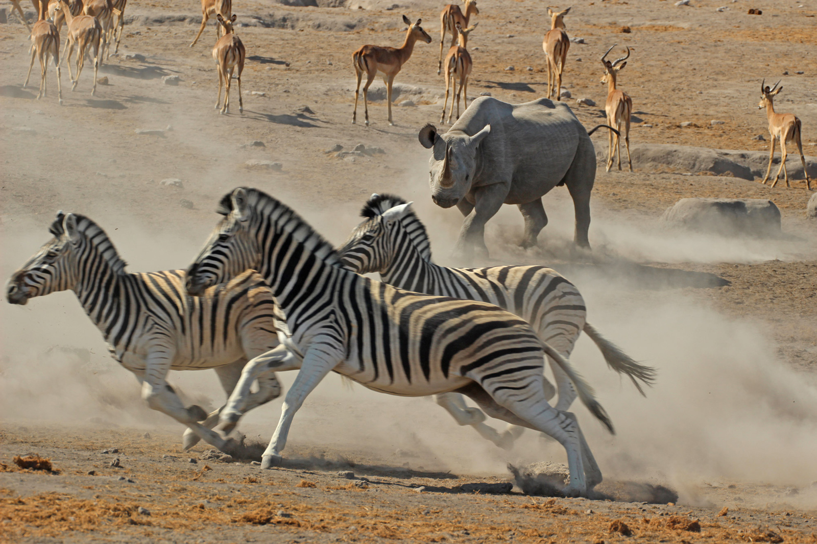 A rhino lets the zebras know who's boss ©Janine Avery