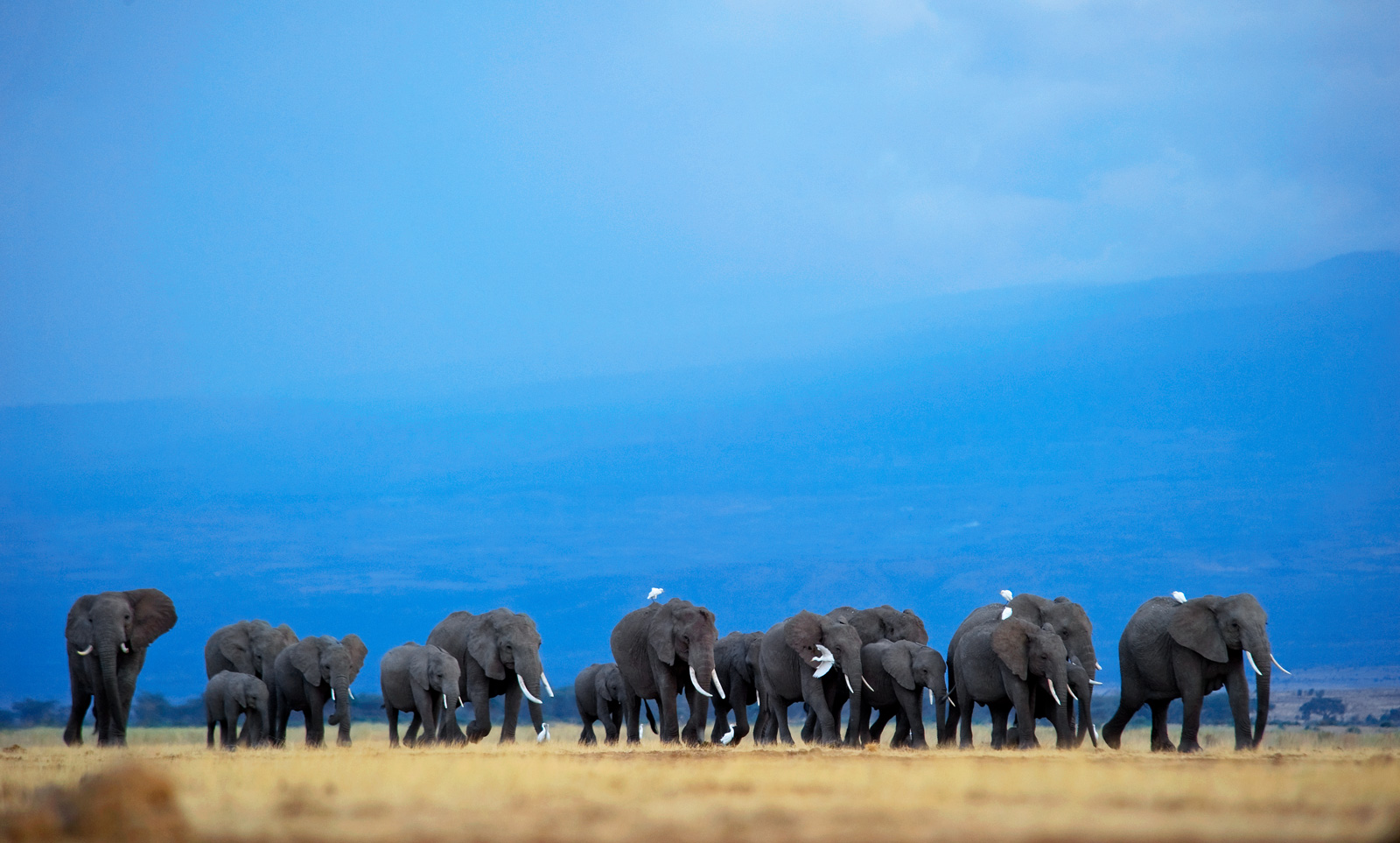 "A herd of elephants crosses the plains of Amboseli National Park, Kenya © <a href=""https://www.gregdutoit.com/"" target=""_blank"">Greg du Toit</a>"
