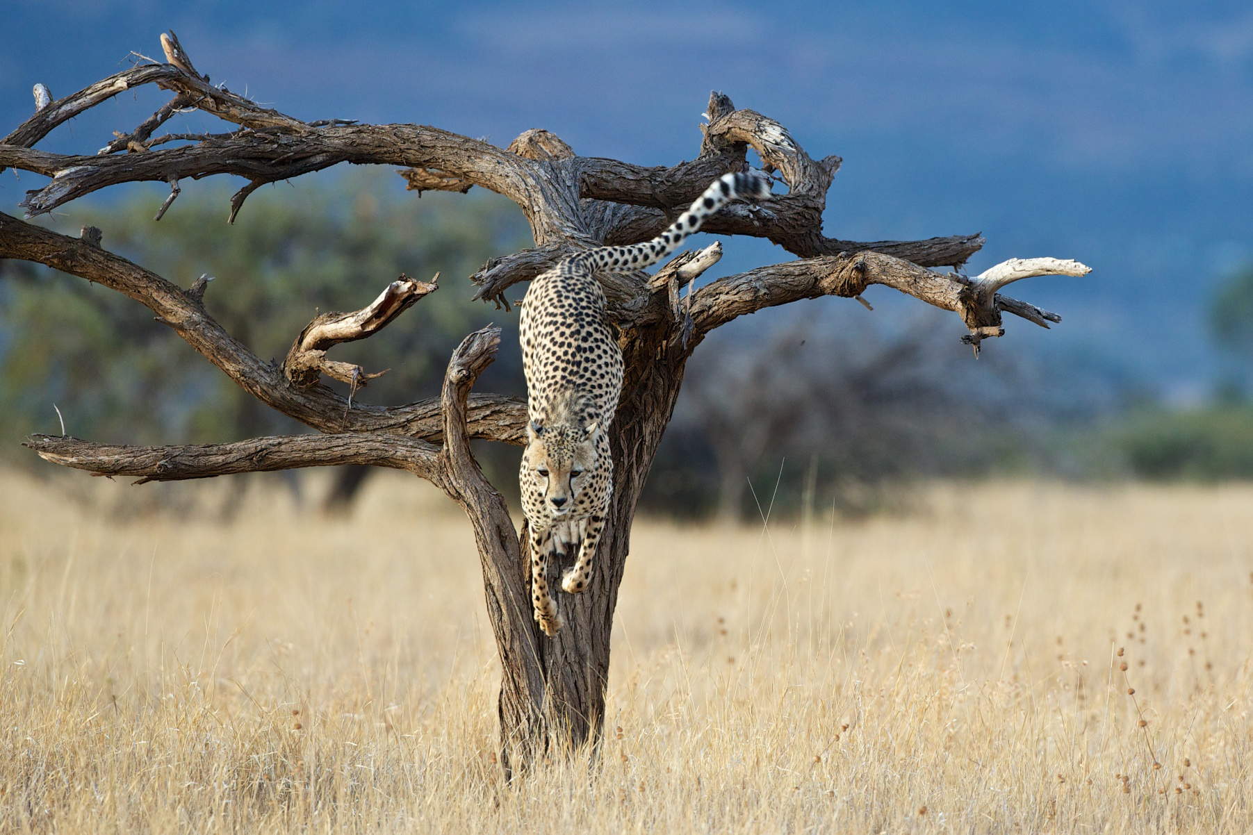 "A cheetah jumps down a tree in the Maasai Mara ©Michael Lorentz, <a href=""http://www.passagetoafrica.com/"" target=""_blank"" class=""track"">Passage to Africa</a>"