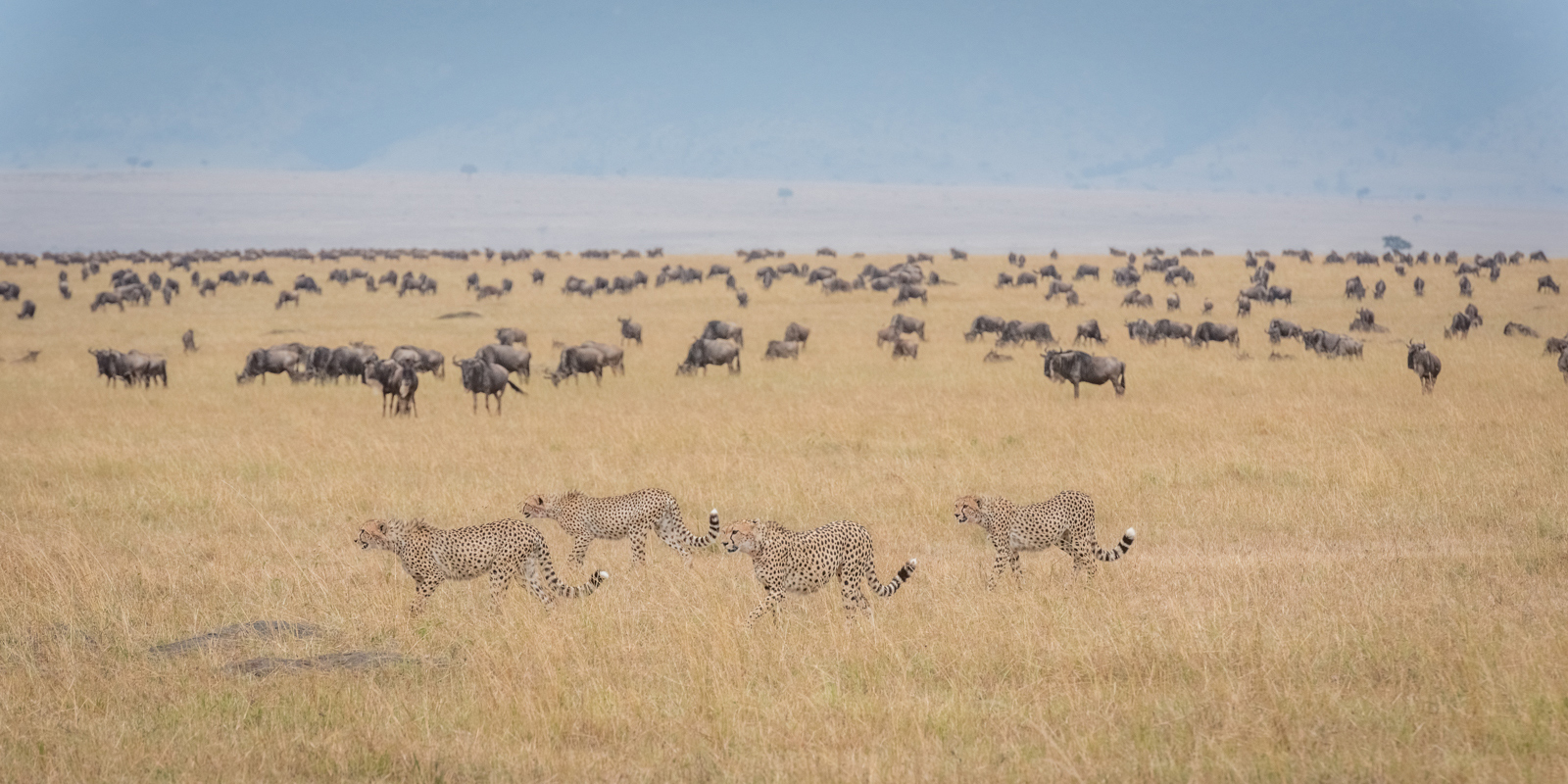 """A camouflaged coalition of cheetah in the Maasai Mara ©<a href=""""http://www.coopernaturephotos.com/"""" target=""""_blank"""">Neal Cooper</a>"""