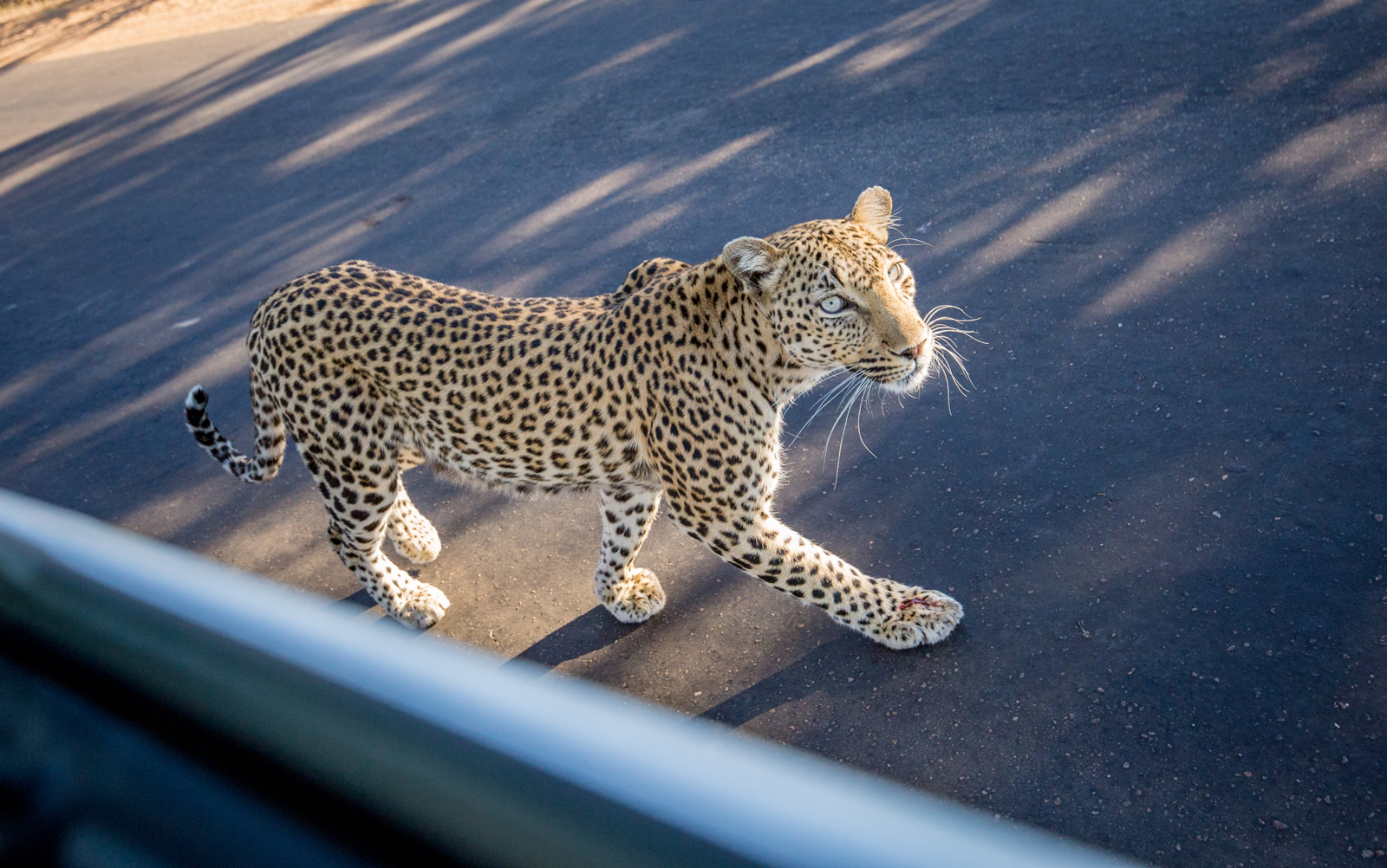 """A leopard looks up at passengers in a vehicle in Kruger ©<a href=""""http://www.scoxfilmandphotography.com/"""" target=""""_blank"""">Samuel Cox</a>"""