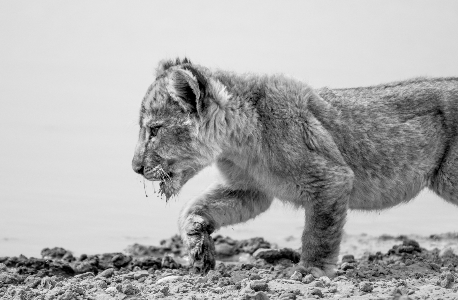 "A lion cub finds its feet in the Kgalagadi ©<a href=""http://www.scoxfilmandphotography.com/"" target=""_blank"">Samuel Cox</a>"
