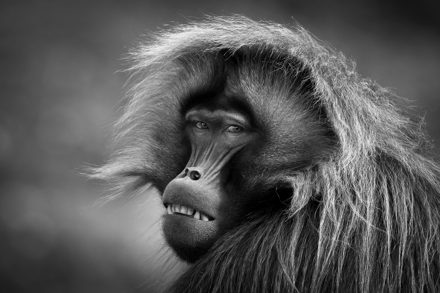 Gelada monkey portrait in the Ethiopian Highlands ©Patrice Quillard