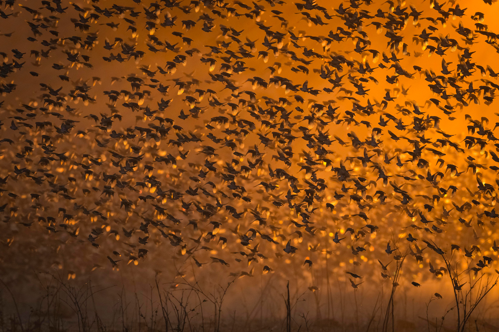 Red-billed queleas searching for seeds in Mana Pools National Park, Zimbabwe ©Jens Cullmann