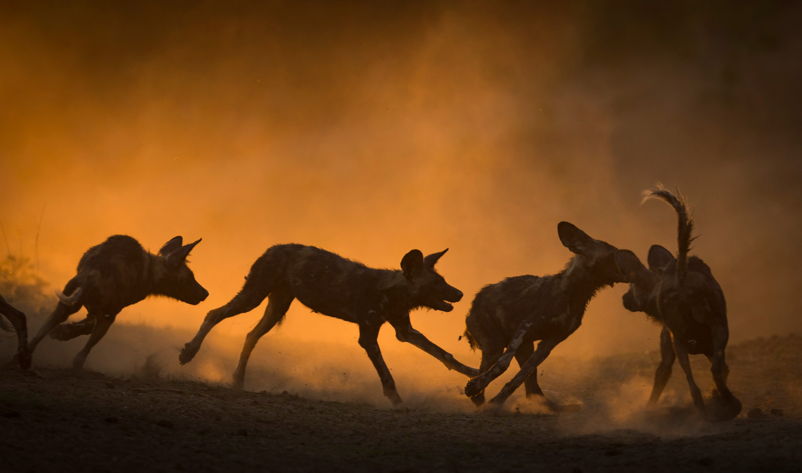 """""""Playtime in the dust"""" in Mana Pools National Park, Zimbabwe ©Jens Cullmann"""