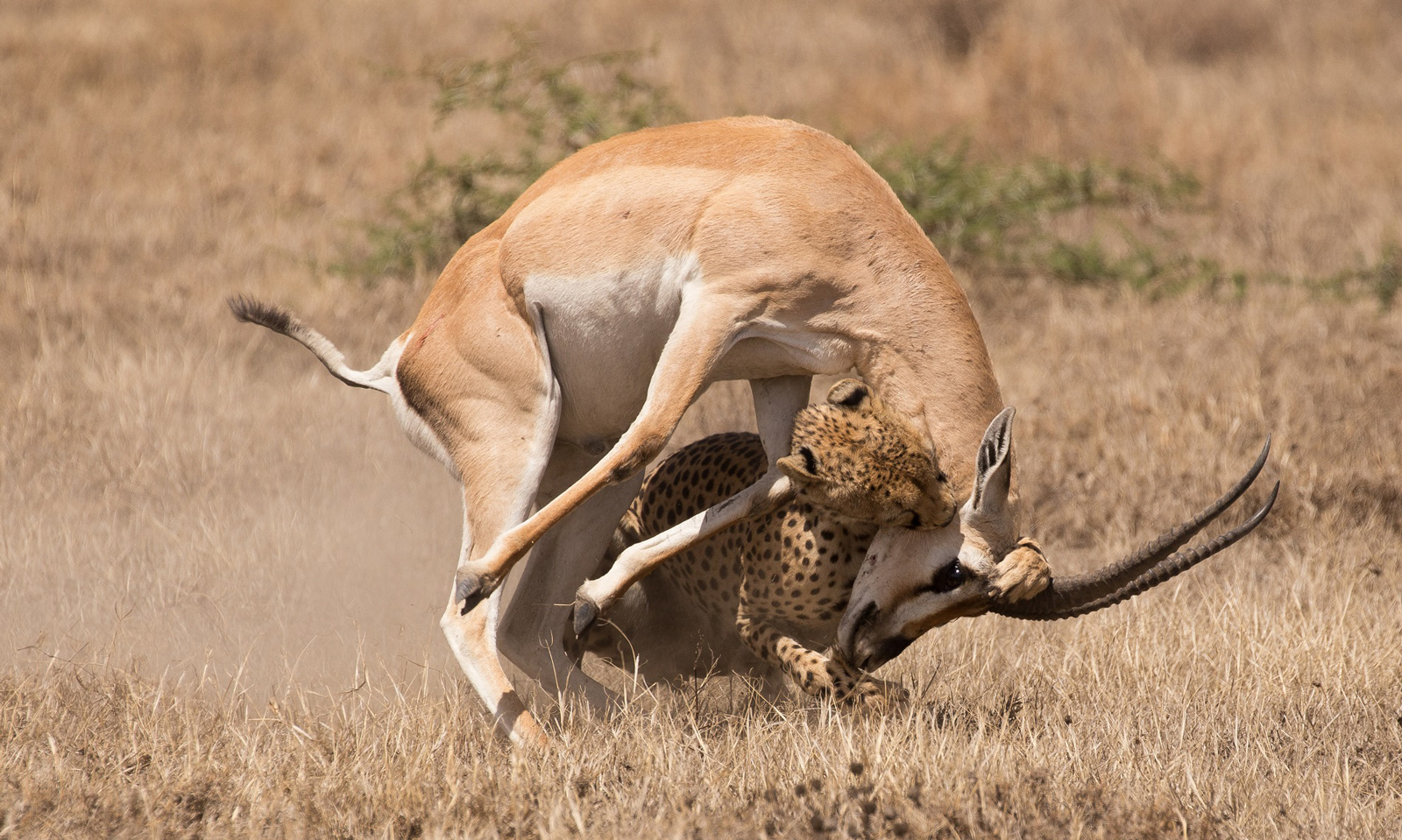 """The kiss of death"" in Ndutu, Tanzania ©Alison Mees"