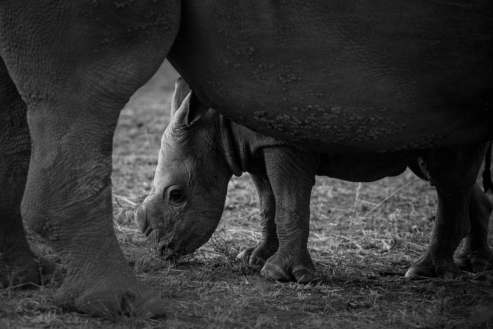 """Innocence"" in Sabi Sand Game Reserve, South Africa ©Andrea Galli"