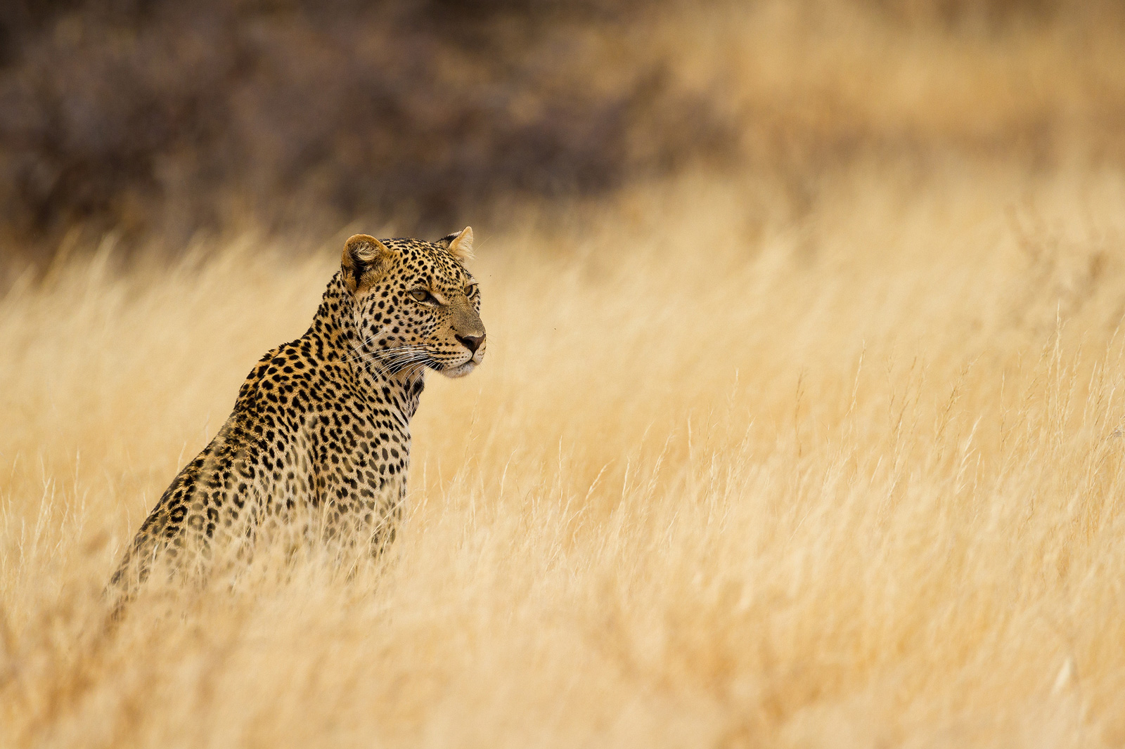 A leopard blends perfectly into a dry grass field in Samburu National Reserve, Kenya ©Alessandro Tramonti