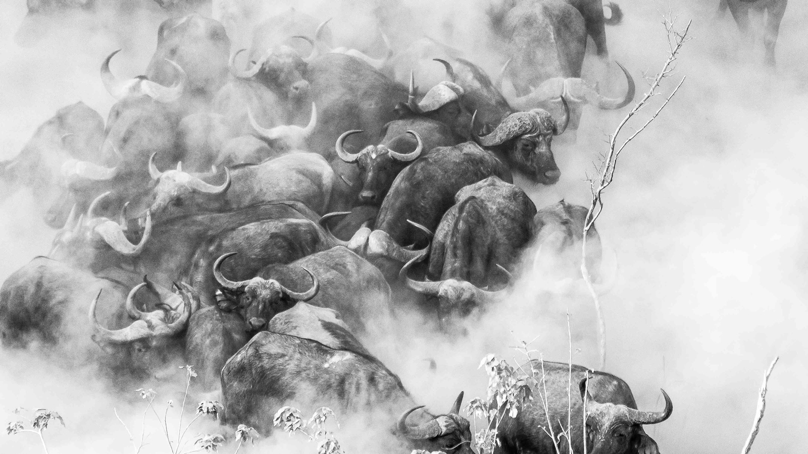 """Buffaloes in the dust"" in Mana Pools National Park, Zimbabwe ©Andrea Galli"