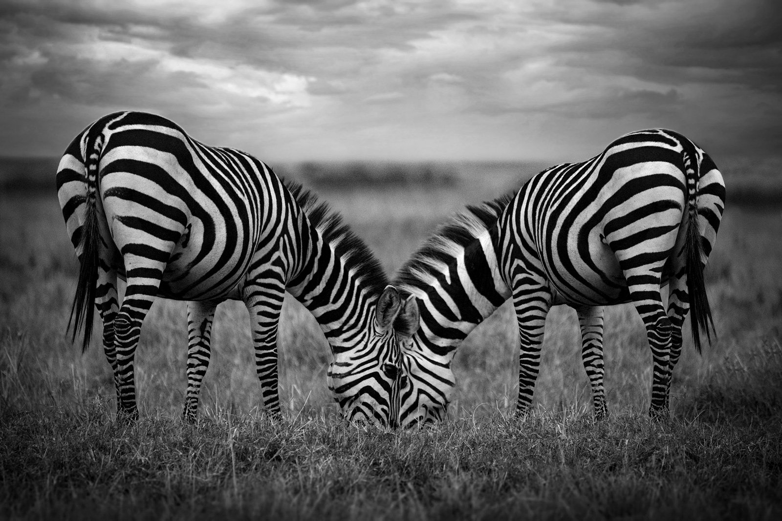 Two zebras in an intimate embrace - Maasai Mara National Reserve, Kenya ©Bjorn Persson