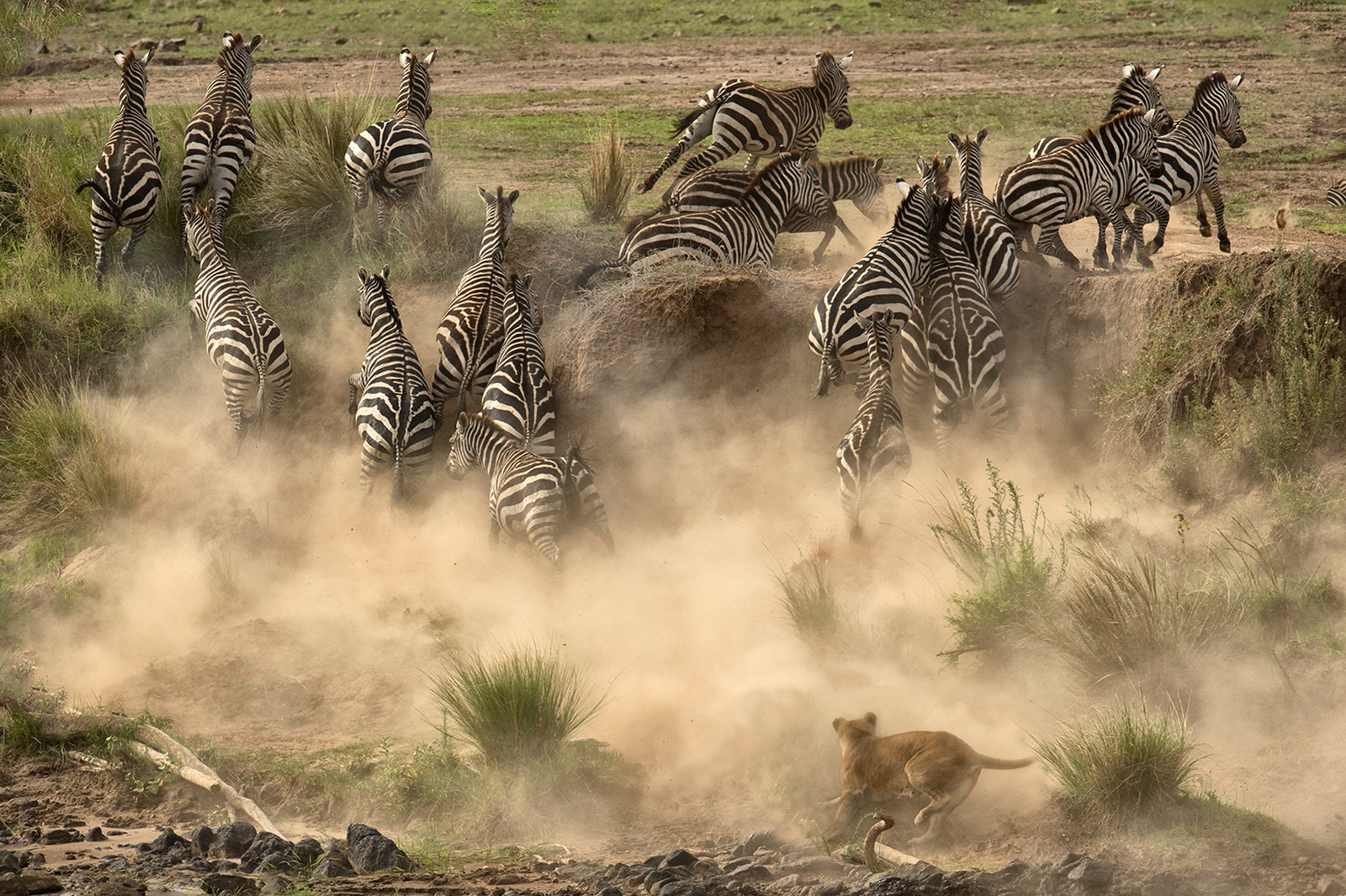A failed ambush along the Mara River in Kenya ©Diana Knight