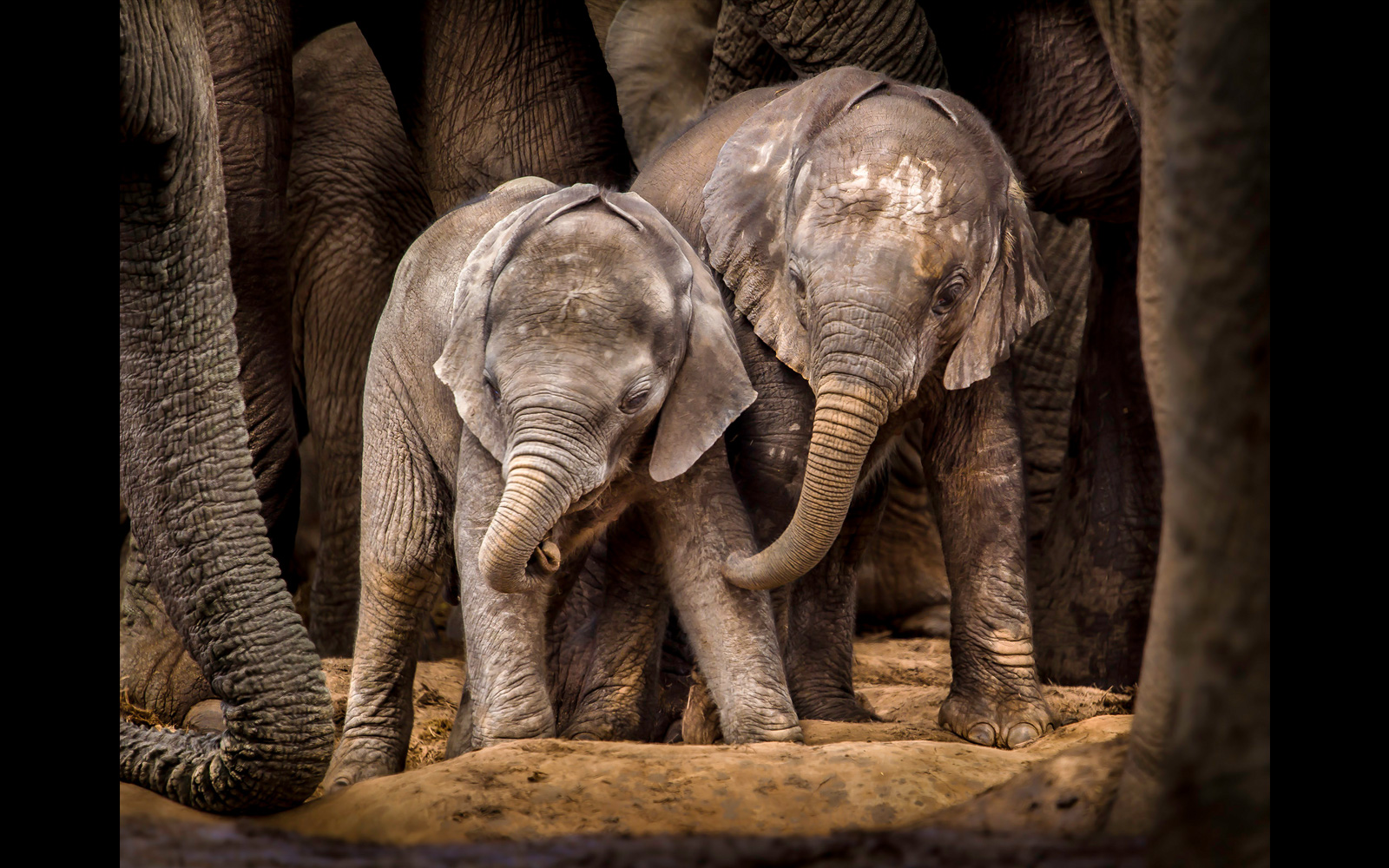 """""""Brothers in arms"""" at Addo Elephant National Park, South Africa ©John Vosloo"""