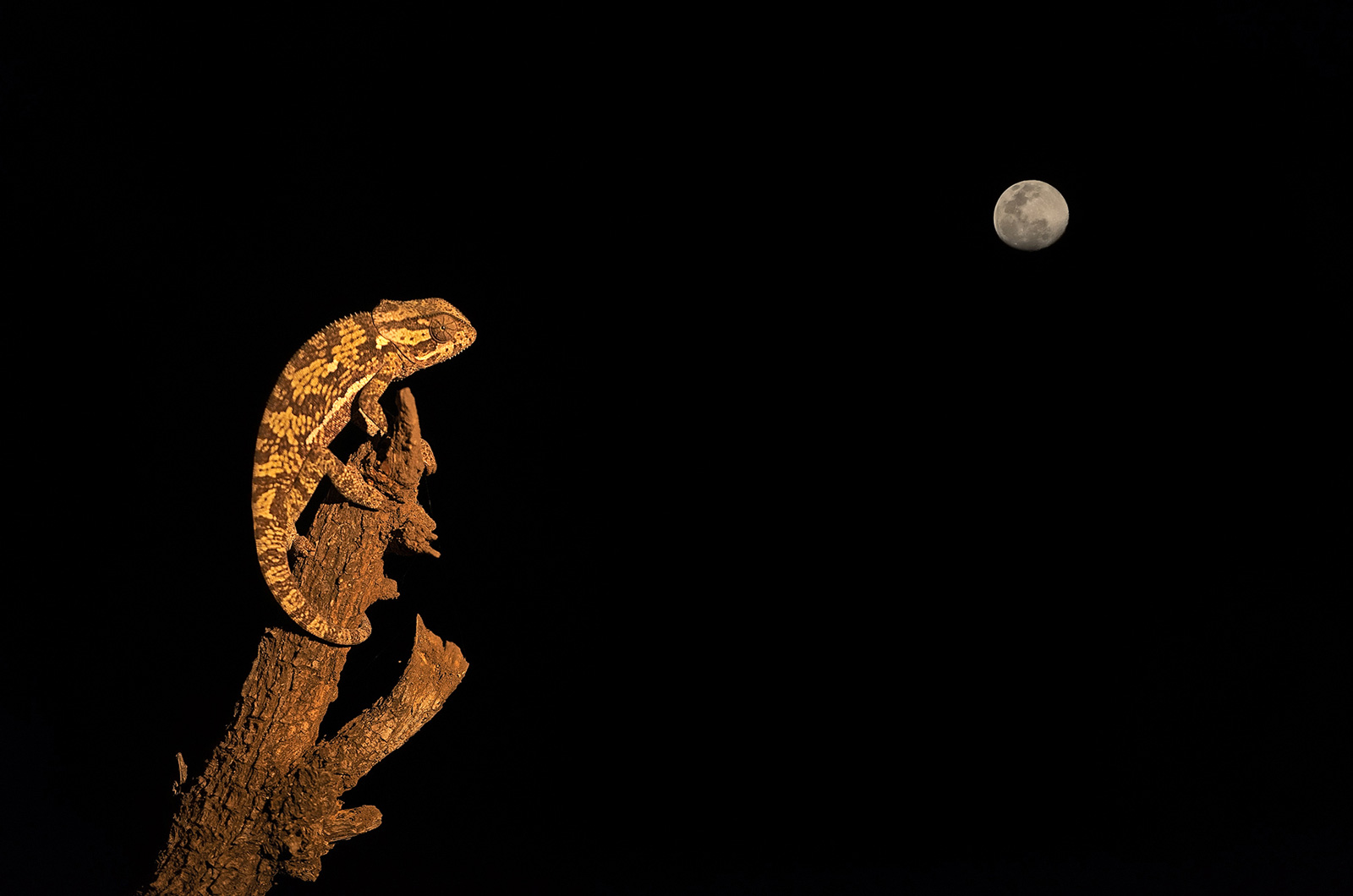 Double exposure of a chameleon and the moon in Mashatu Game Reserve, Botswana ©Willem Kruger