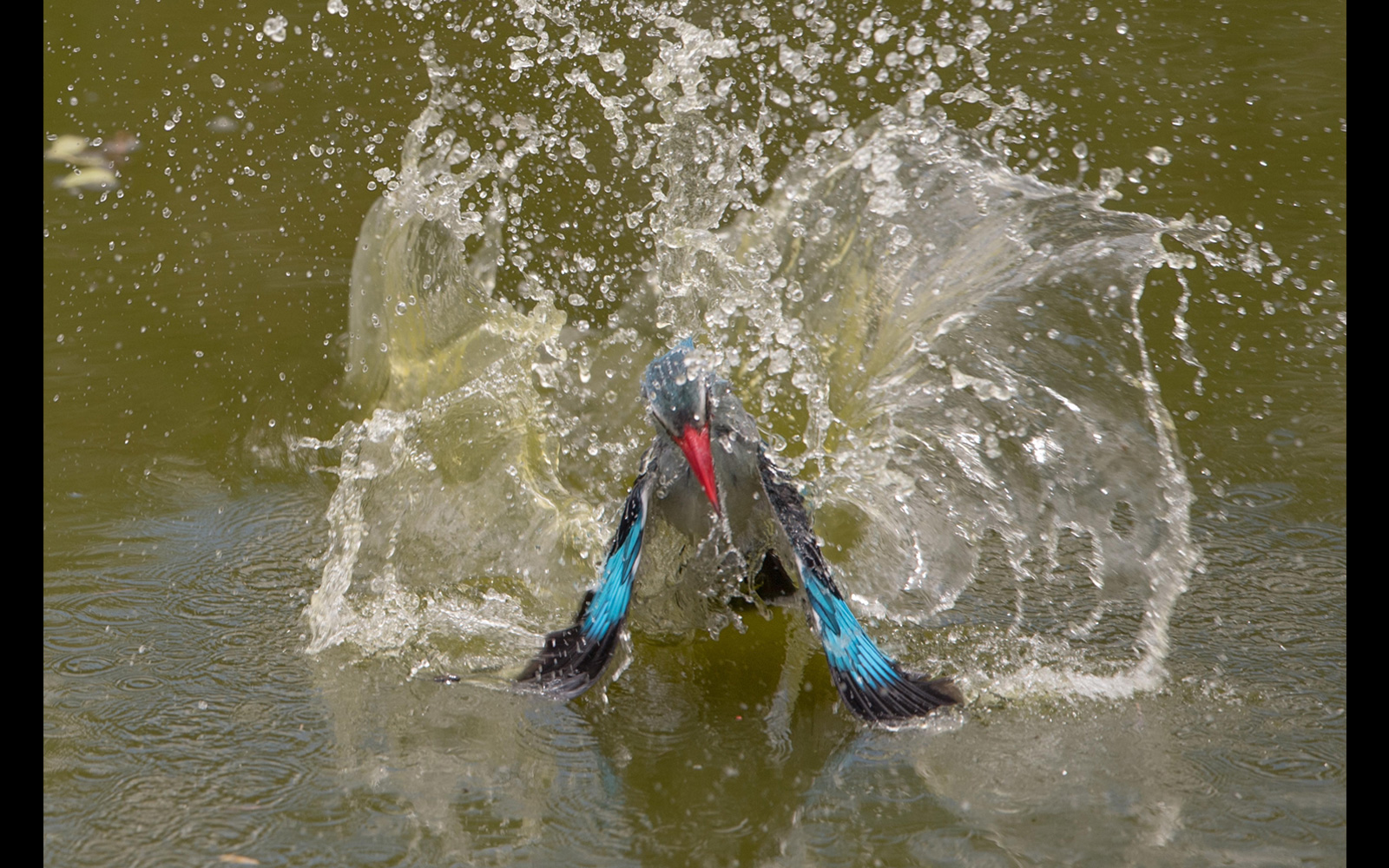 A woodland kingfisher takes a bath in Makutsi Safari Springs, Hoedspruit, South Africa © Urs Niklaus