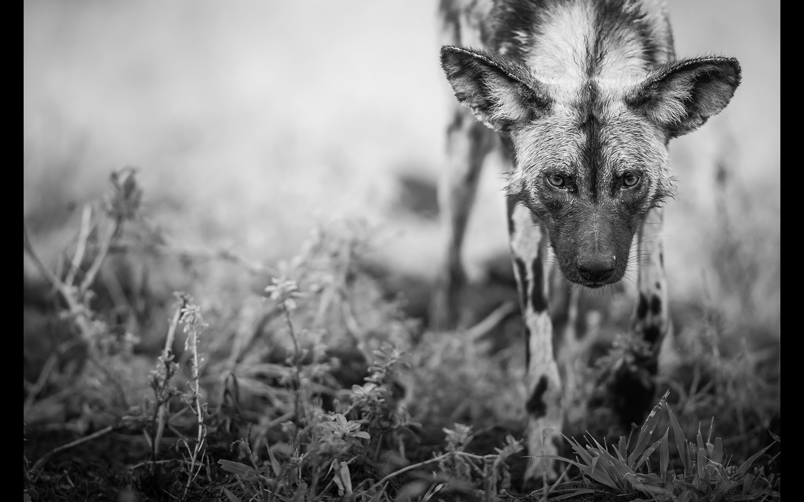 Staring into the eyes of an endangered African wild dog in Imfolozi Game Reserve, South Africa © Chantelle Melzer