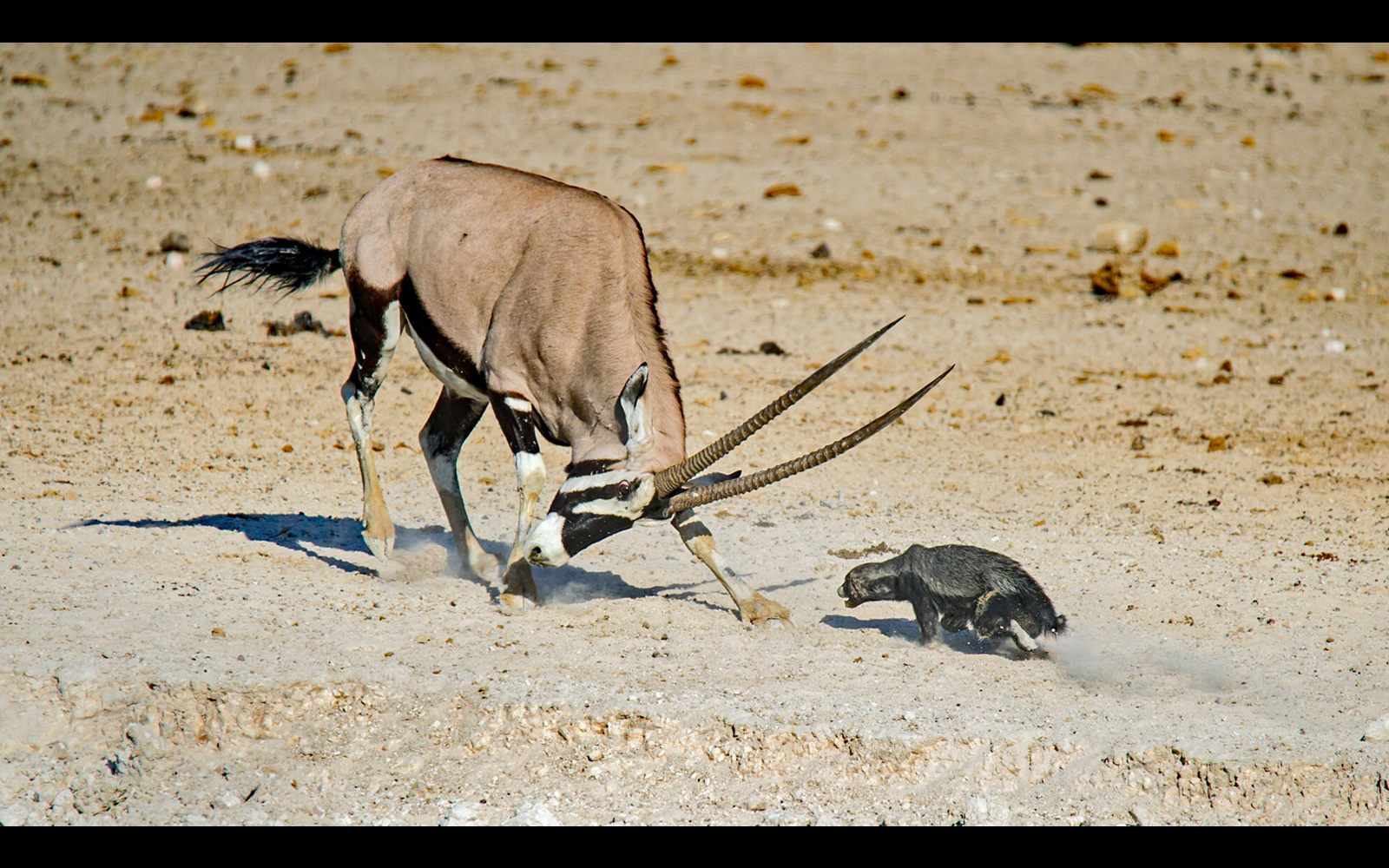 """""""Badger charge"""" – a honey badger charges an oryx in Etosha National Park, Namibia © Dirk Theron (Click <a href=""""https://africageographic.com/blog/honey-badger-dont-care/""""target=""""_blank"""">here</a> to see what happened next!)"""