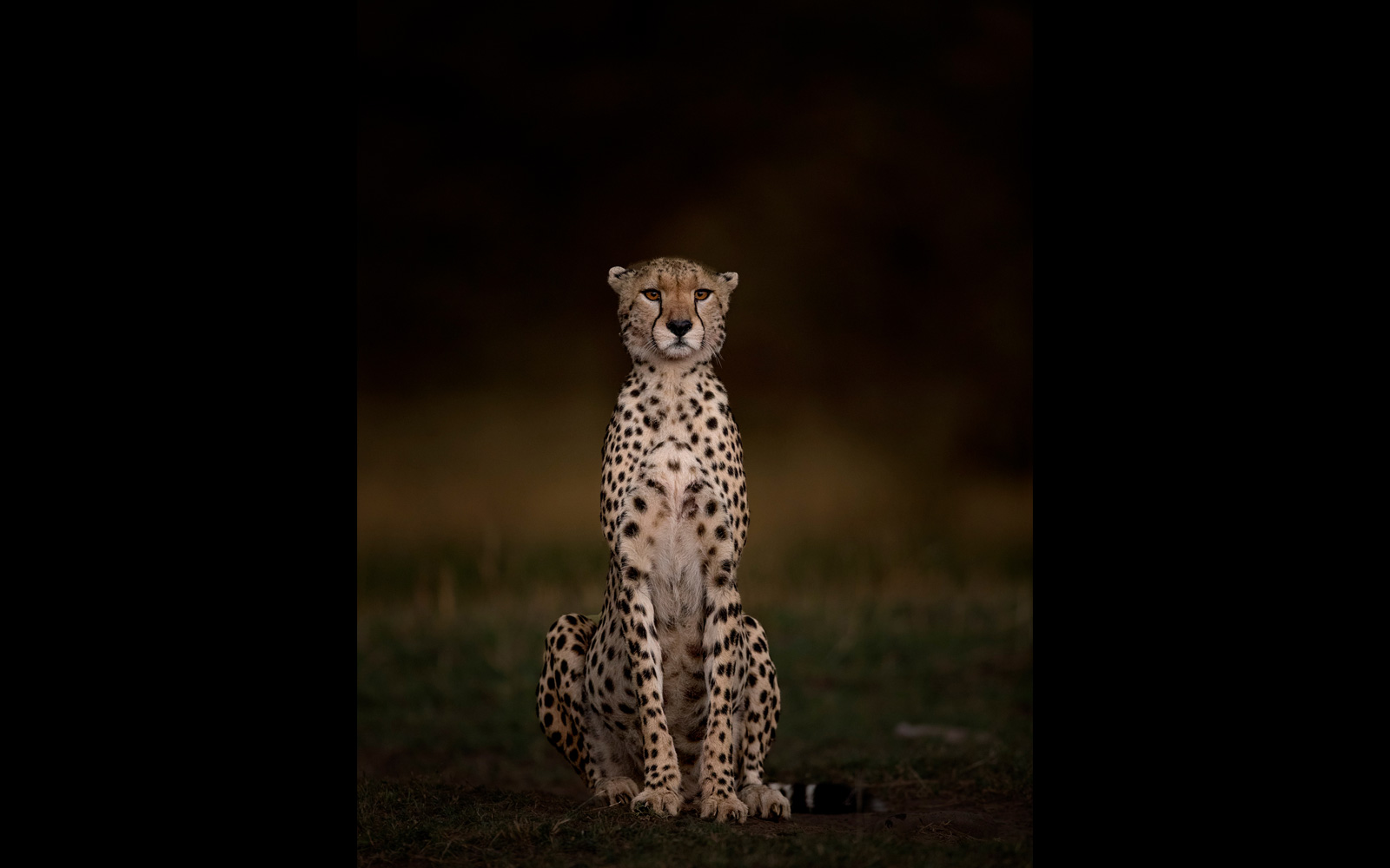 A female cheetah in the last of the evening light in Maasai Mara National Reserve, Kenya © Andy Howe