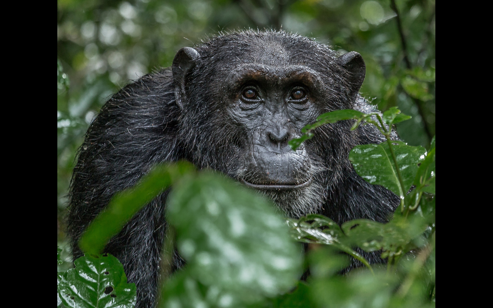 """One last look"" in Kibale National Park, Uganda © Mark Paul"
