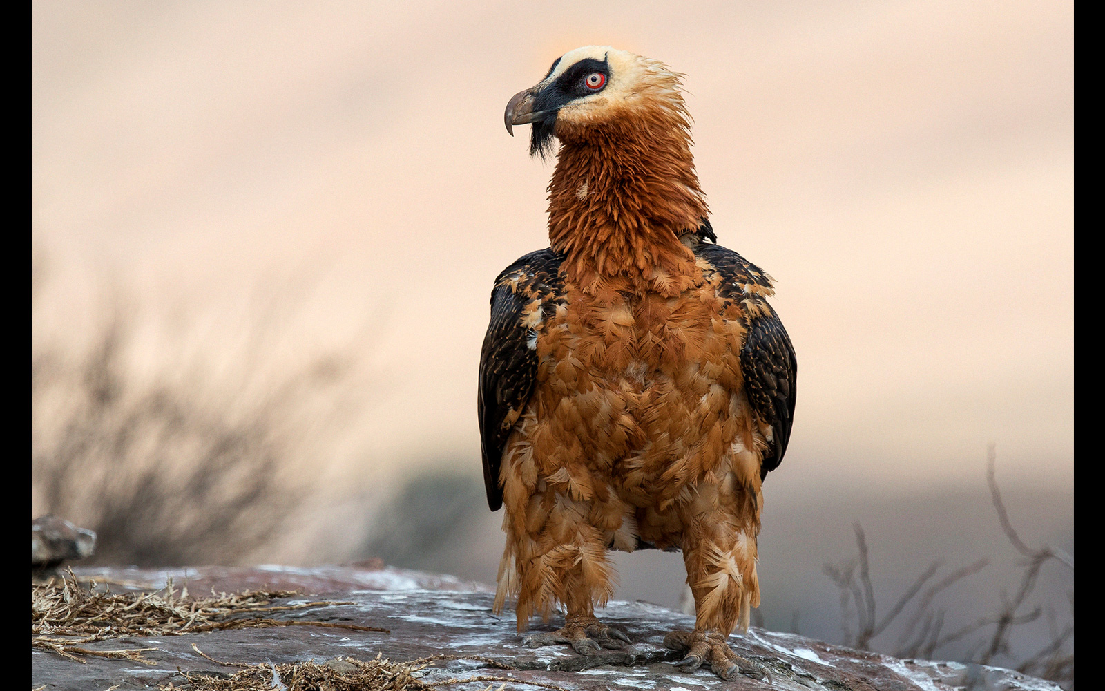 A mature bearded vulture that just landed on a rock in Giants Castle, Drakensberg, South Africa © Johan J. Botha