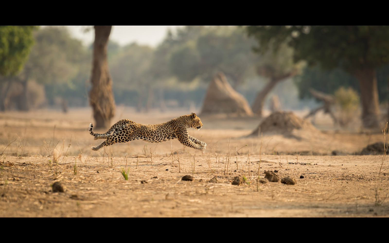 A leopard launches his attack in Mana Pools National Park, Zimbabwe © Jens Cullmann