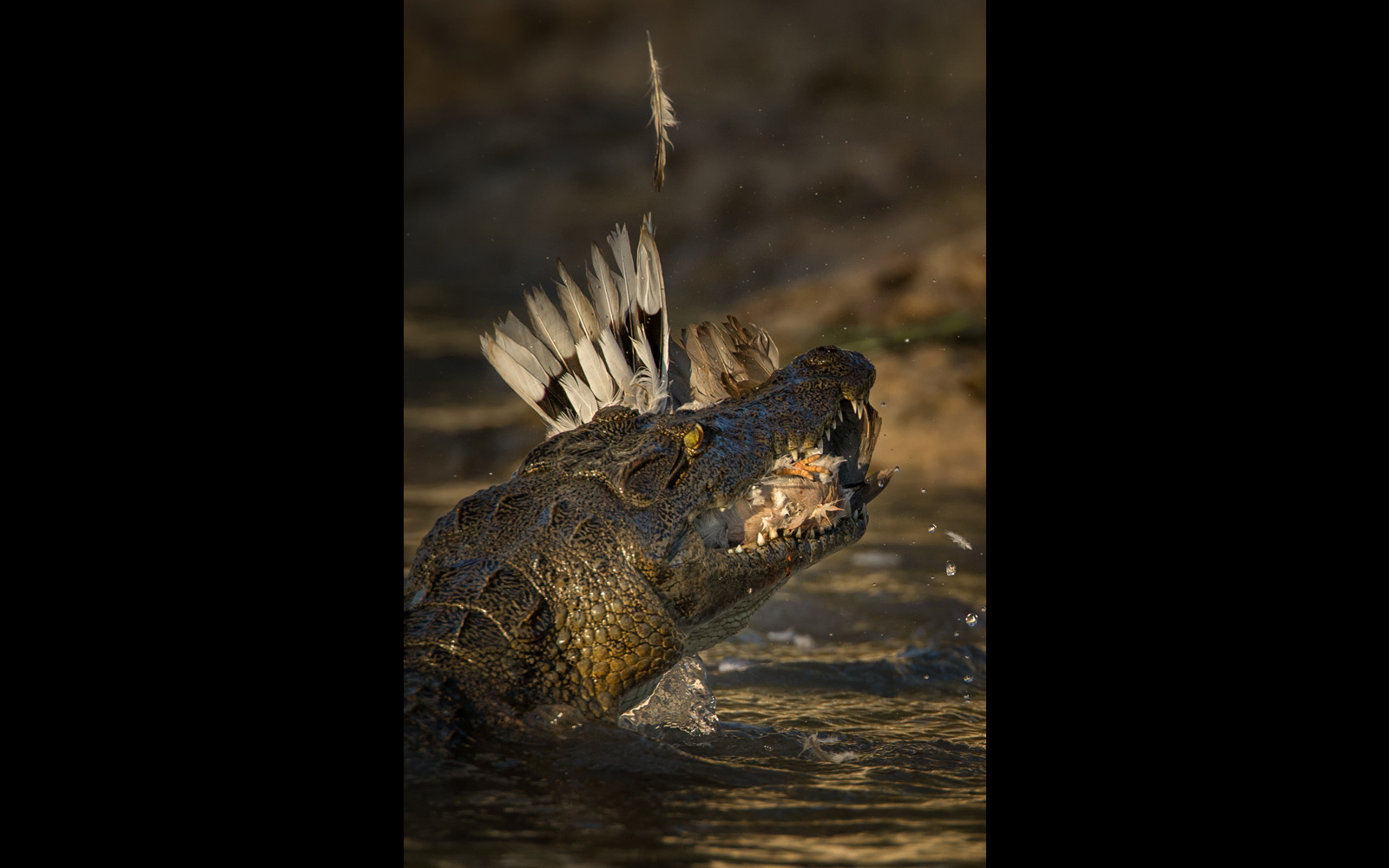 """Two for the price of one"" – a crocodile manages to catch two doves in one go in the Chobe River, Botswana © Teresa Nel"