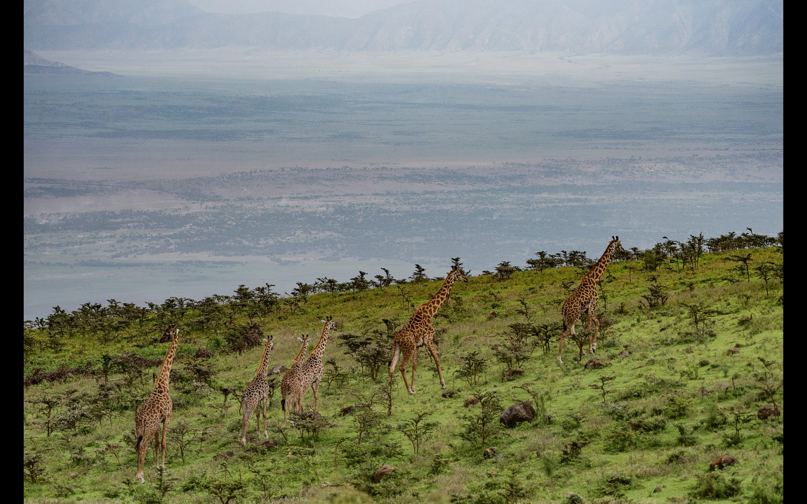 A giraffe family cross over the plains in the Ndutu area in the north-western part of the Ngorongoro Conservation area, Tanzania © Shmuel Goldberg