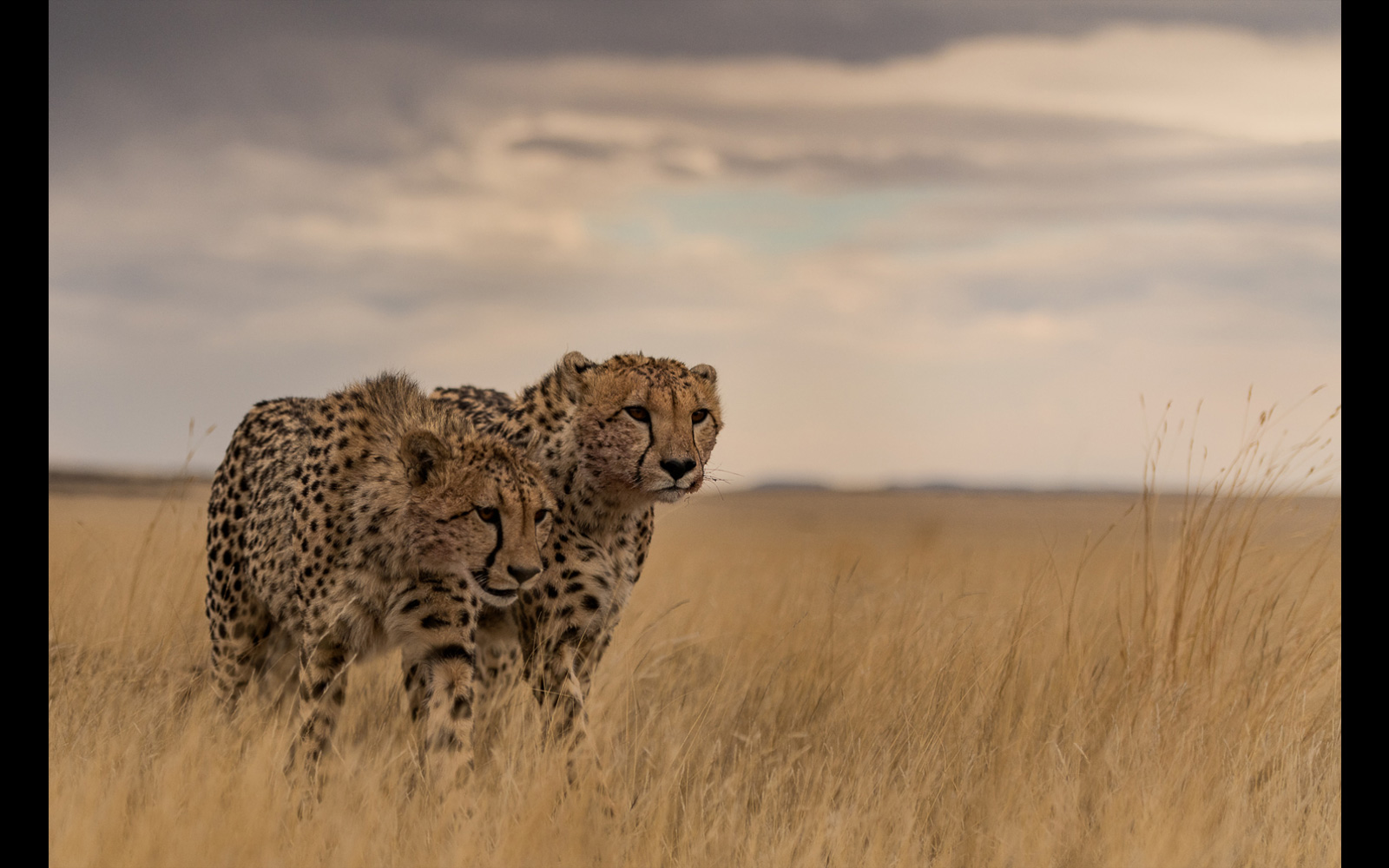 Cheetahs walk shoulder-to-shoulder in the early morning light in Tiger Canyons, South Africa © Marc de Chalain
