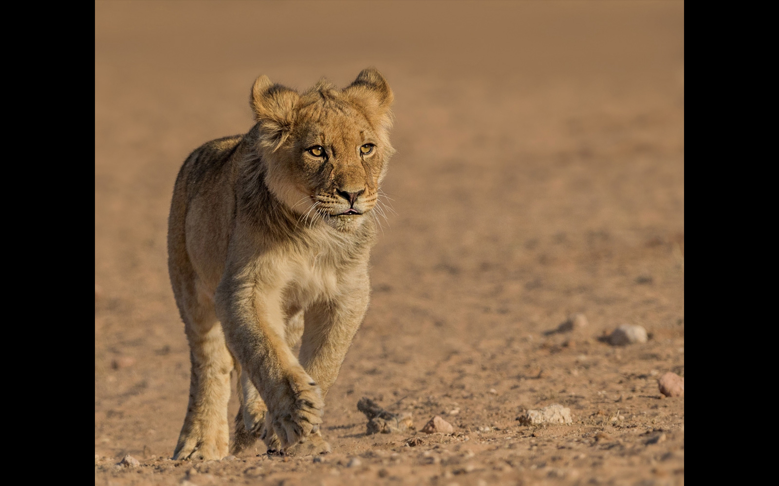 Lion cub running to his pride in  Kgalagadi Transfrontier Park, Botswana/South Africa © Marc de Chalain
