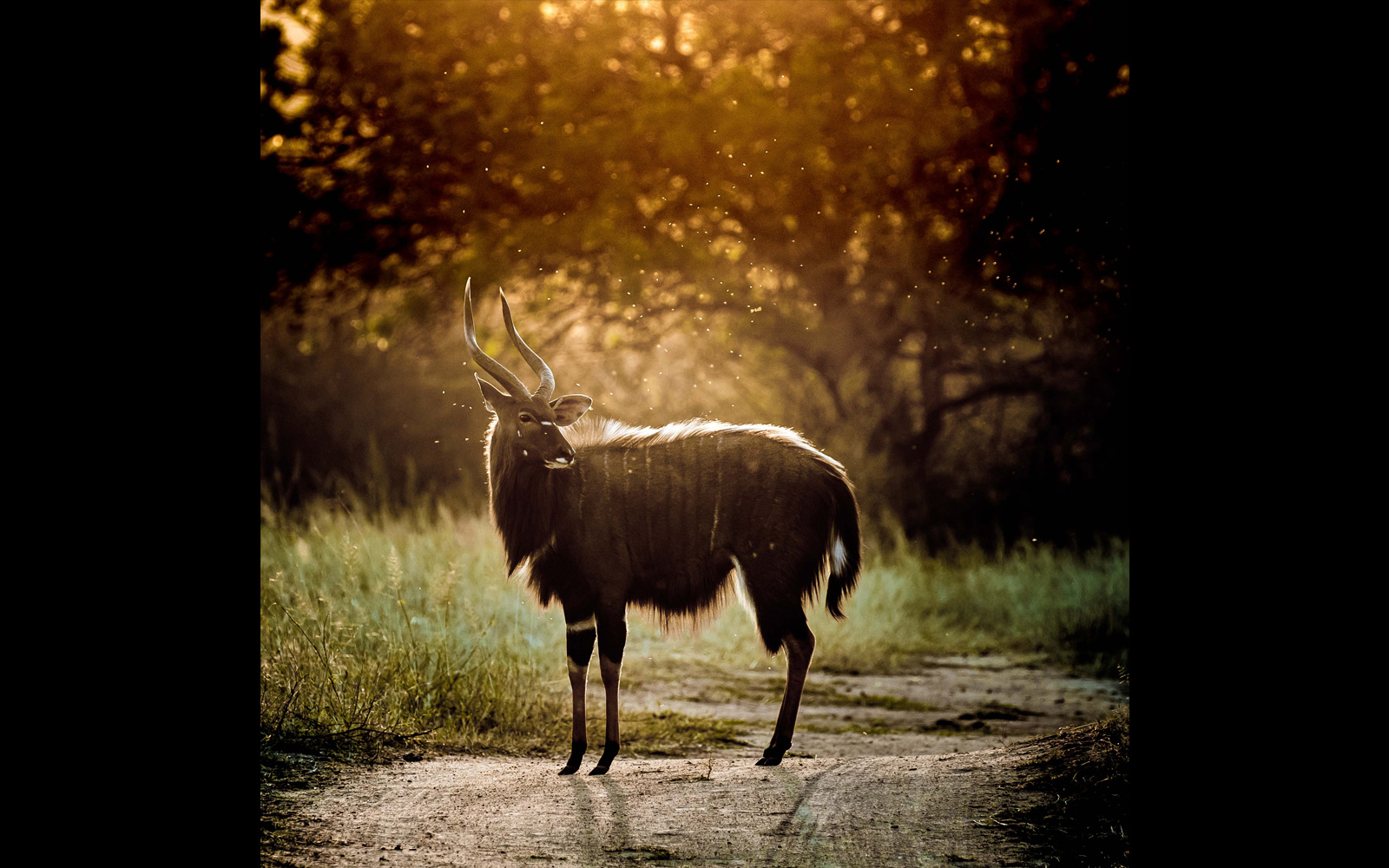 A nyala bull soaks up the final moments of the sun in Greater Kruger National Park, South Africa © Samuel Cox