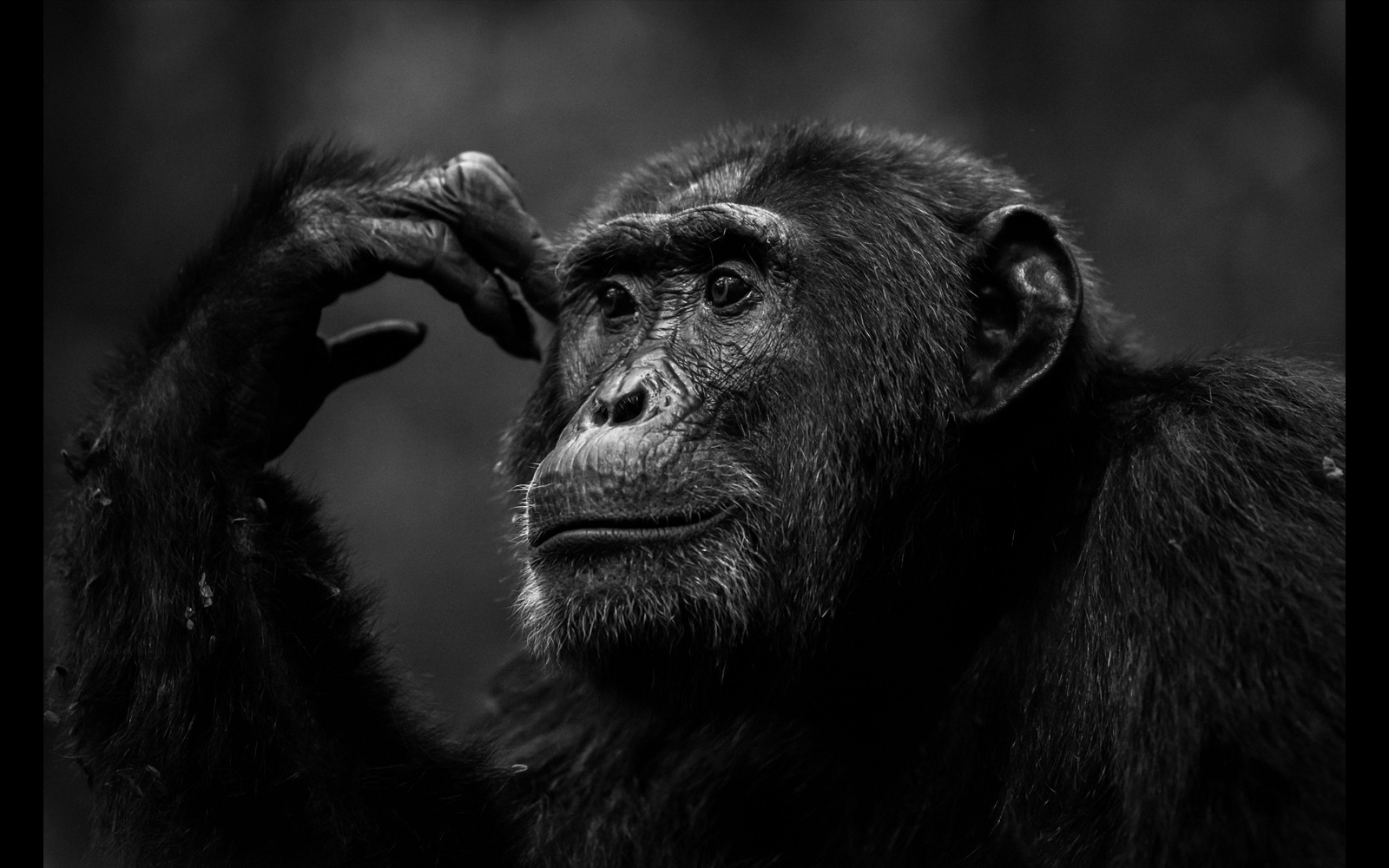 """The Thinker"" – chimpanzee in Kibale National Park, Uganda © Yaron Schmid"