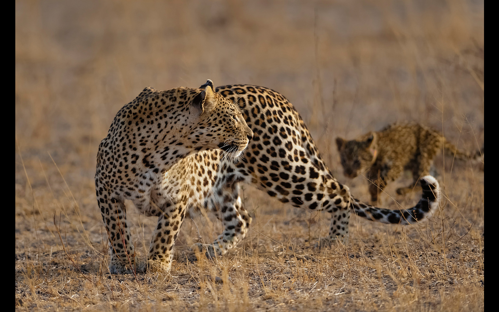 An alert leopard mom and cub crossing the open plains in Londolozi Private Game Reserve, Greater Kruger National Park, South Africa © Willem Kruger