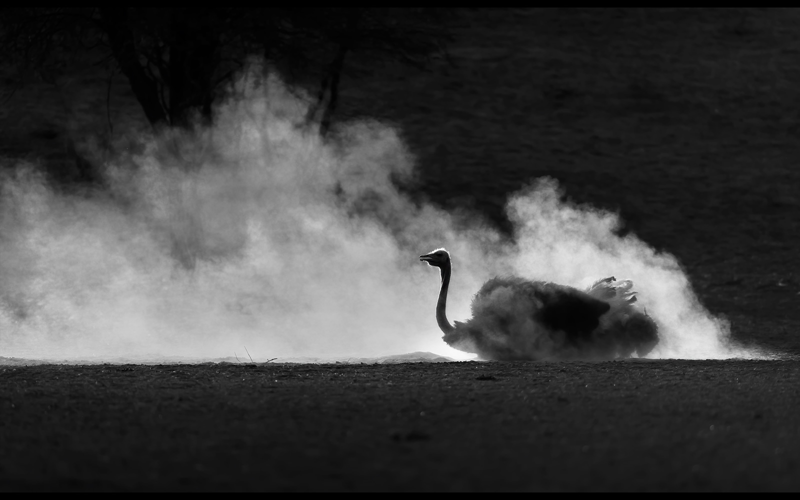 An ostrich in the dust near Leeudril waterhole, Kgalagadi Transfrontier Park, South Africa/Botswana © Willem Kruger