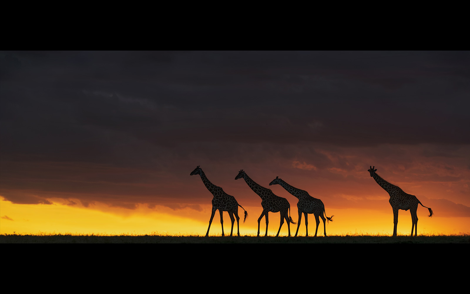 """Tall, dark strangers"" in Maasai Mara National Reserve, Kenya © Andy Howe"