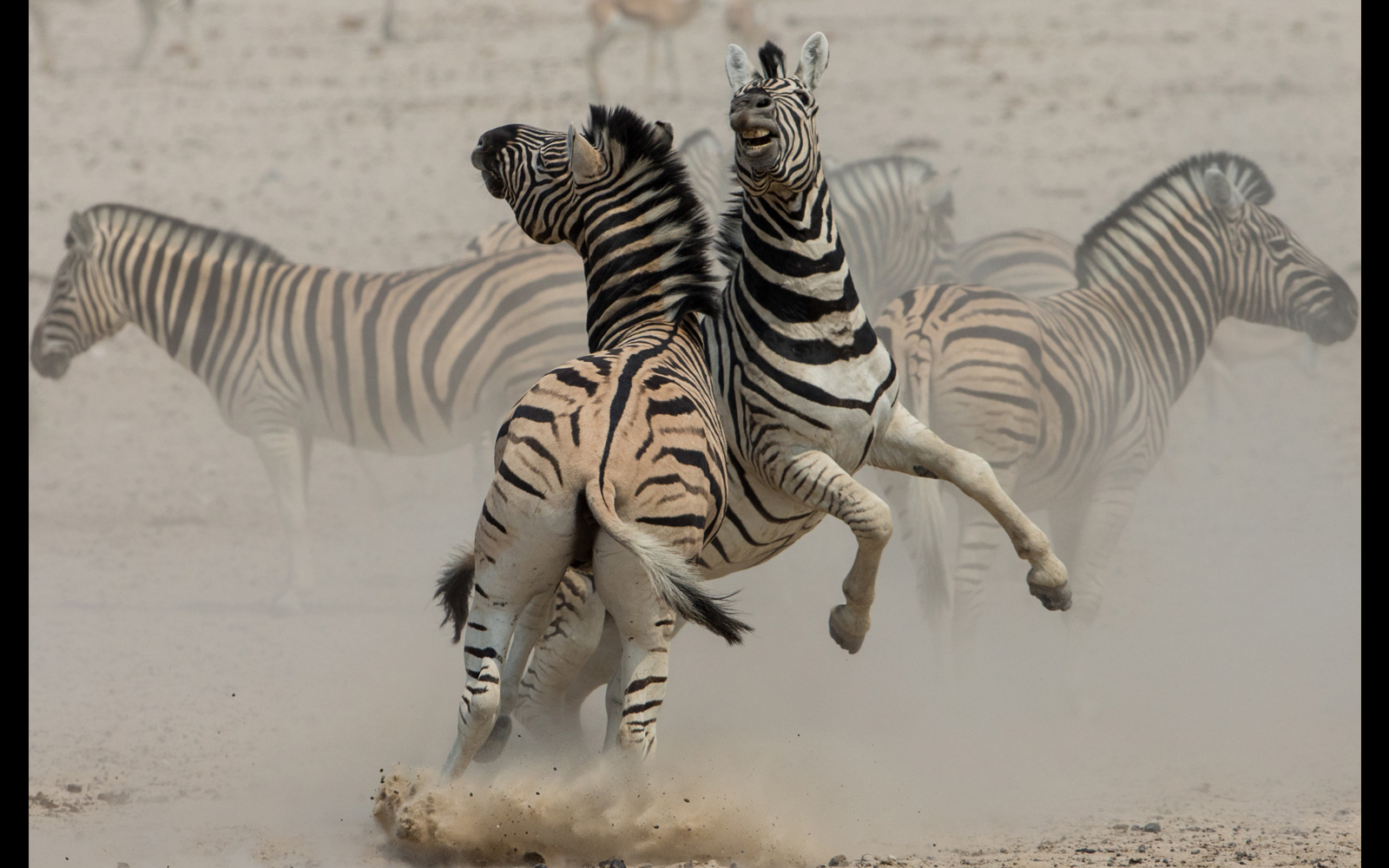A pair of Burchell's zebras battle it out in the dust in Etosha National Park, Namibia © Inger Vandyke