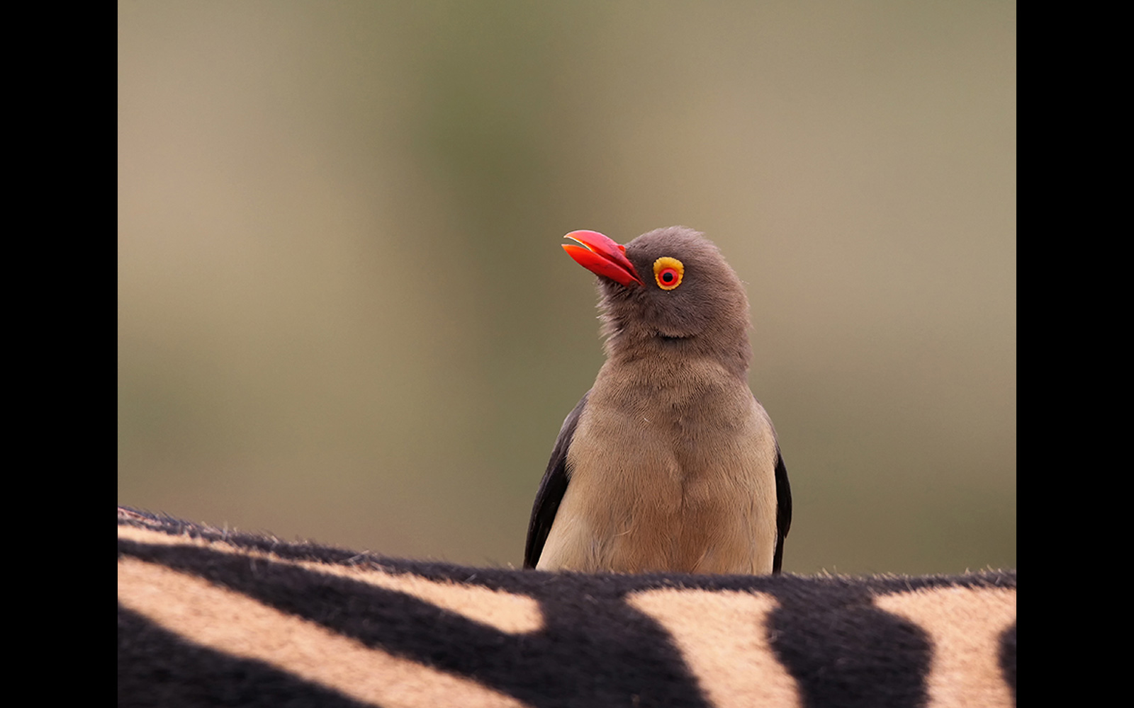 An oxpecker on a zebra in Pilanesberg National Park, South Africa © Charmaine Bode