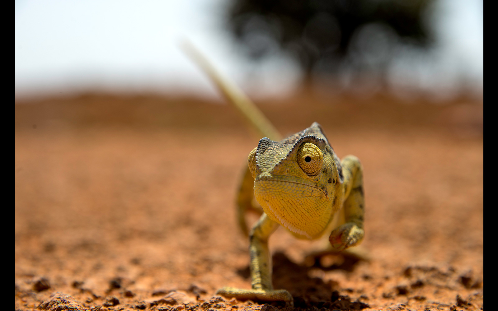A curious chameleon on the road in Tanzania © Darryn Haltmann
