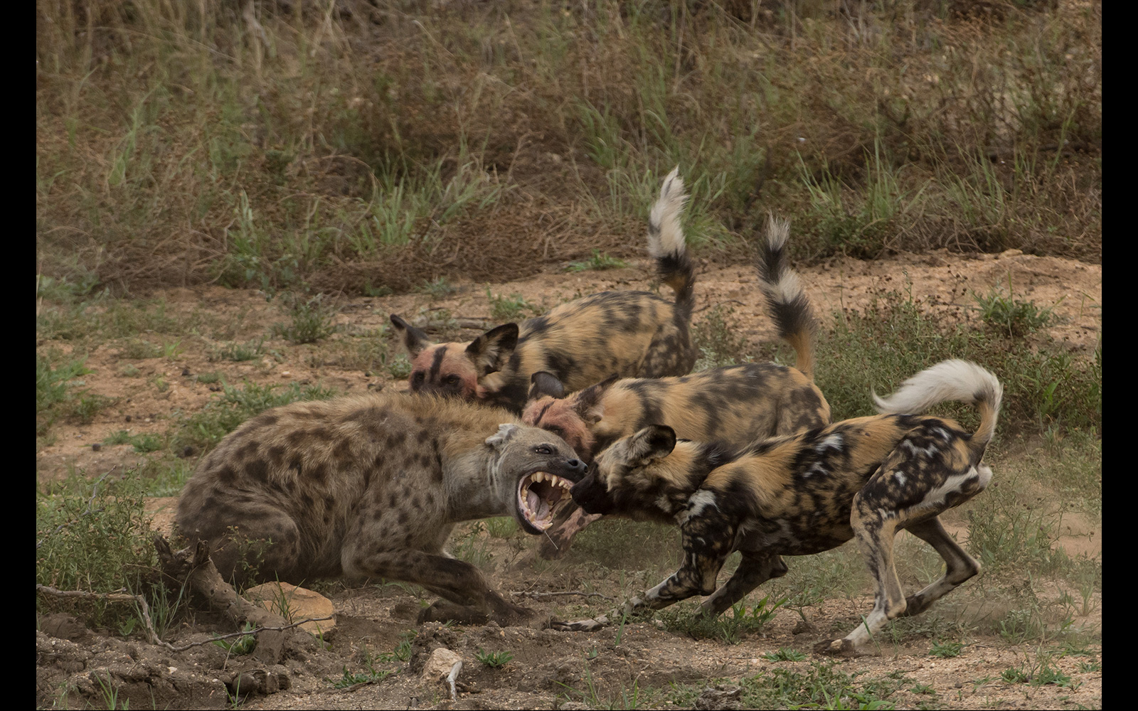 """Street wars"" in Timbavati Game Reserve, South Africa © Luke Street"