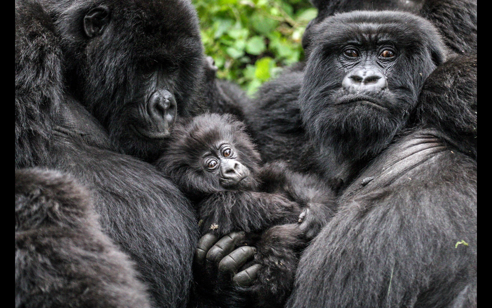 A baby mountain gorilla gets all the attention in Volcanoes National Park, Rwanda © Stuart Sinclair